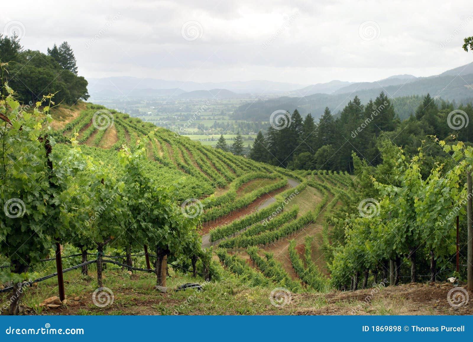 De wijngaard van de Vallei van Napa