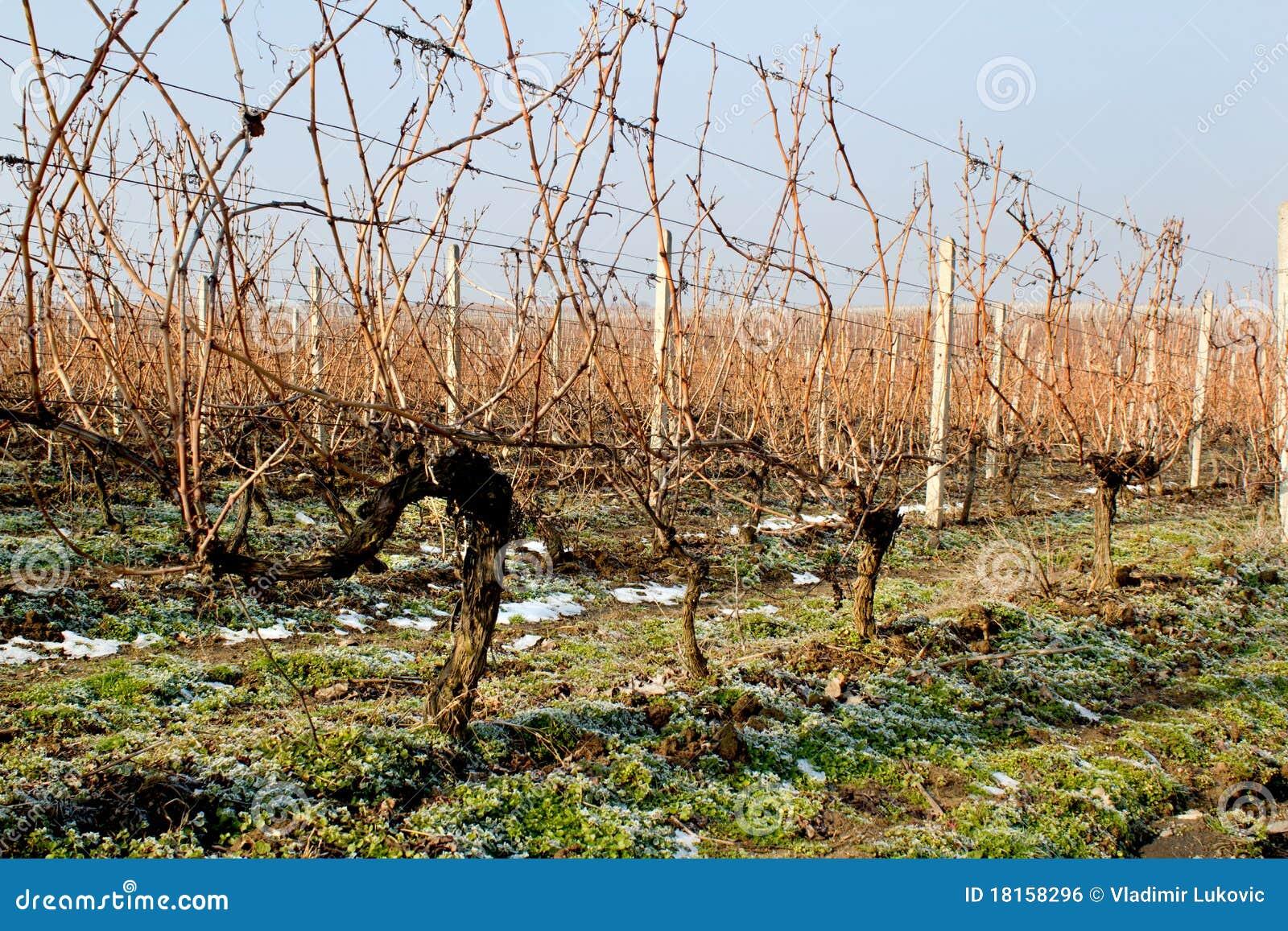 De Wijngaard van de winter