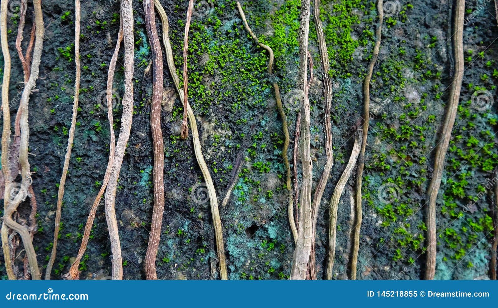 De wijnstok van de boomrek op de steen