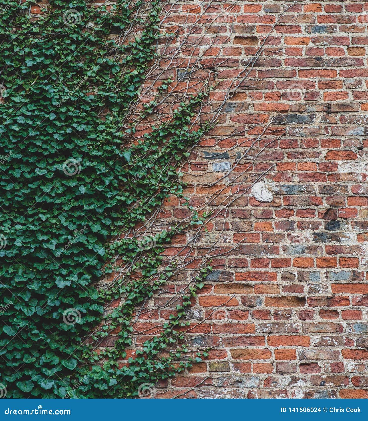 De wijnstokken beklimmen op een bakstenen muur en bieden een interessant half patroon aan