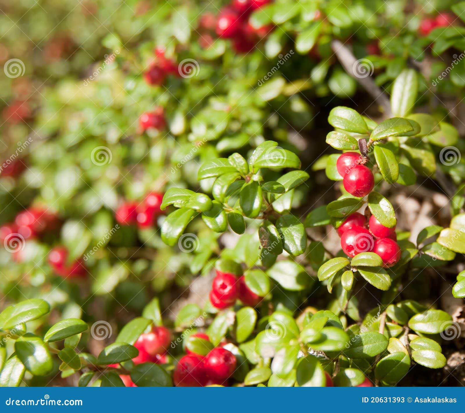 De wilde amerikaanse veenbes van de struik van alaska lage stock foto 39 s beeld 20631393 - Bush architectuur ...