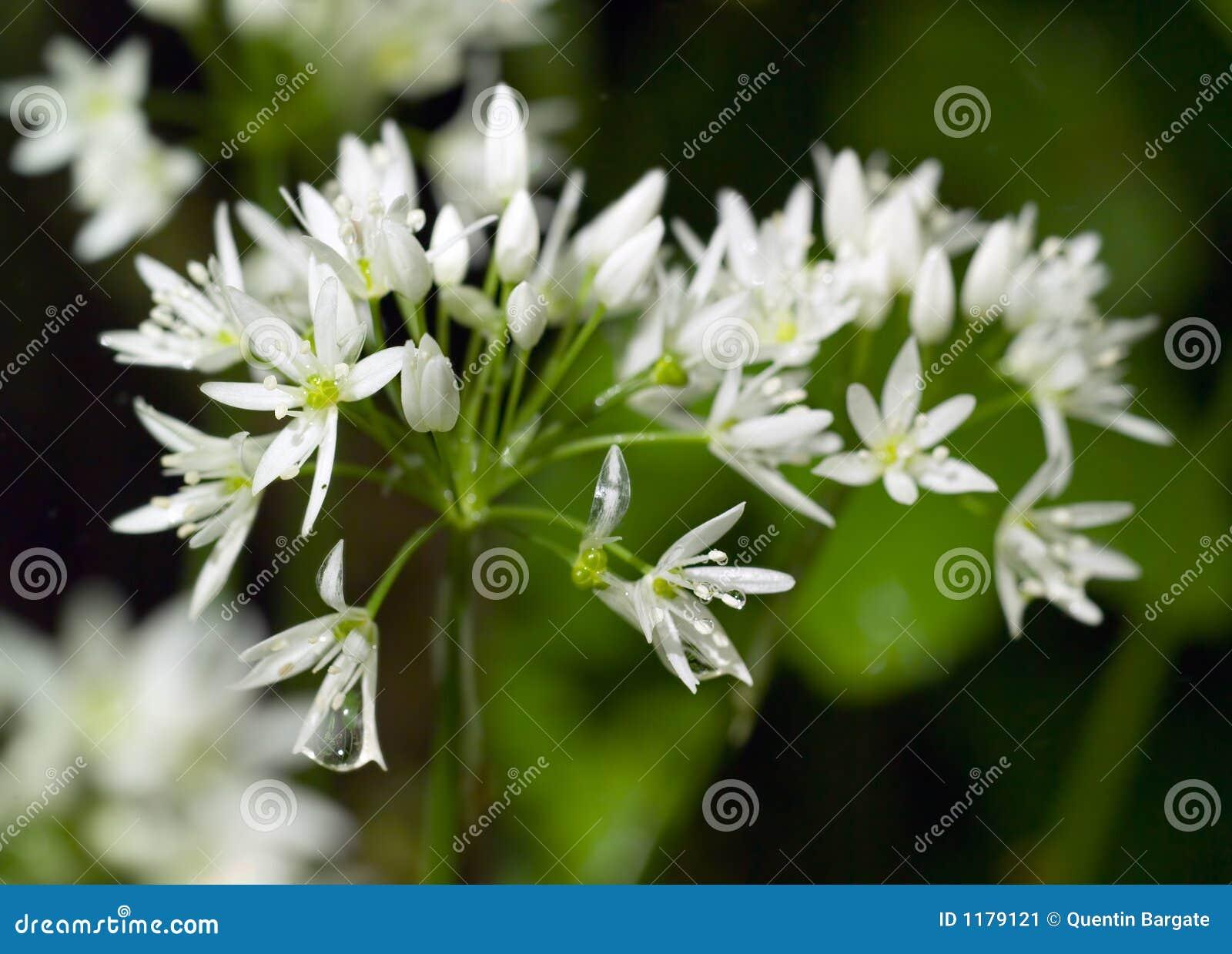 De wilde bloemen van het Knoflook in de Lente die met dauw wordt geladen