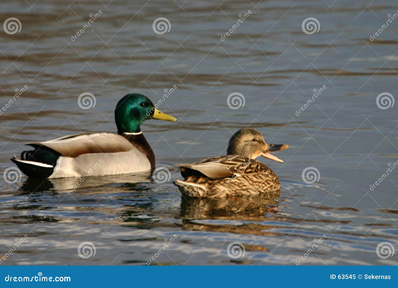 De wilde eendpaar van Quacking