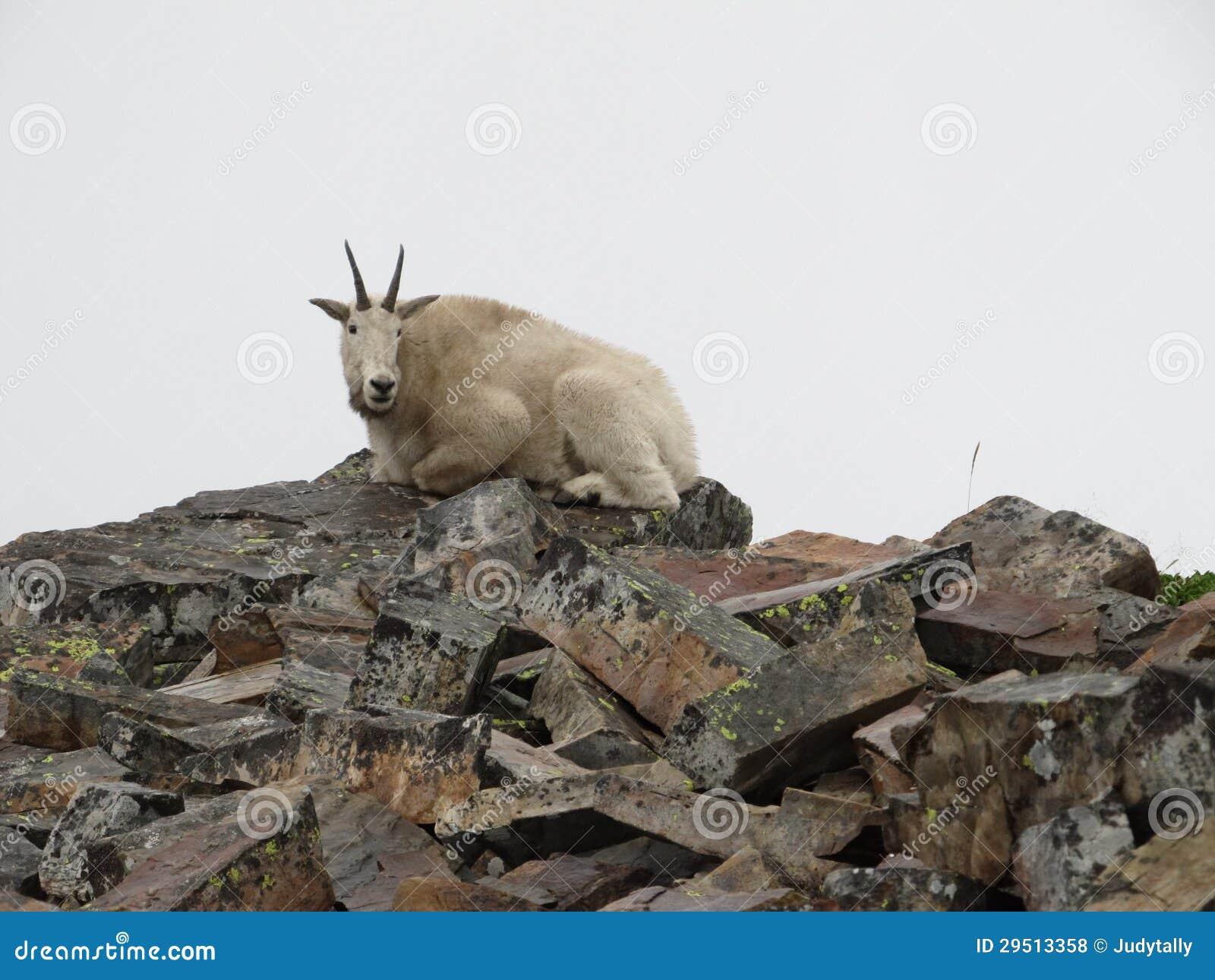 De wilde Geit van de Berg