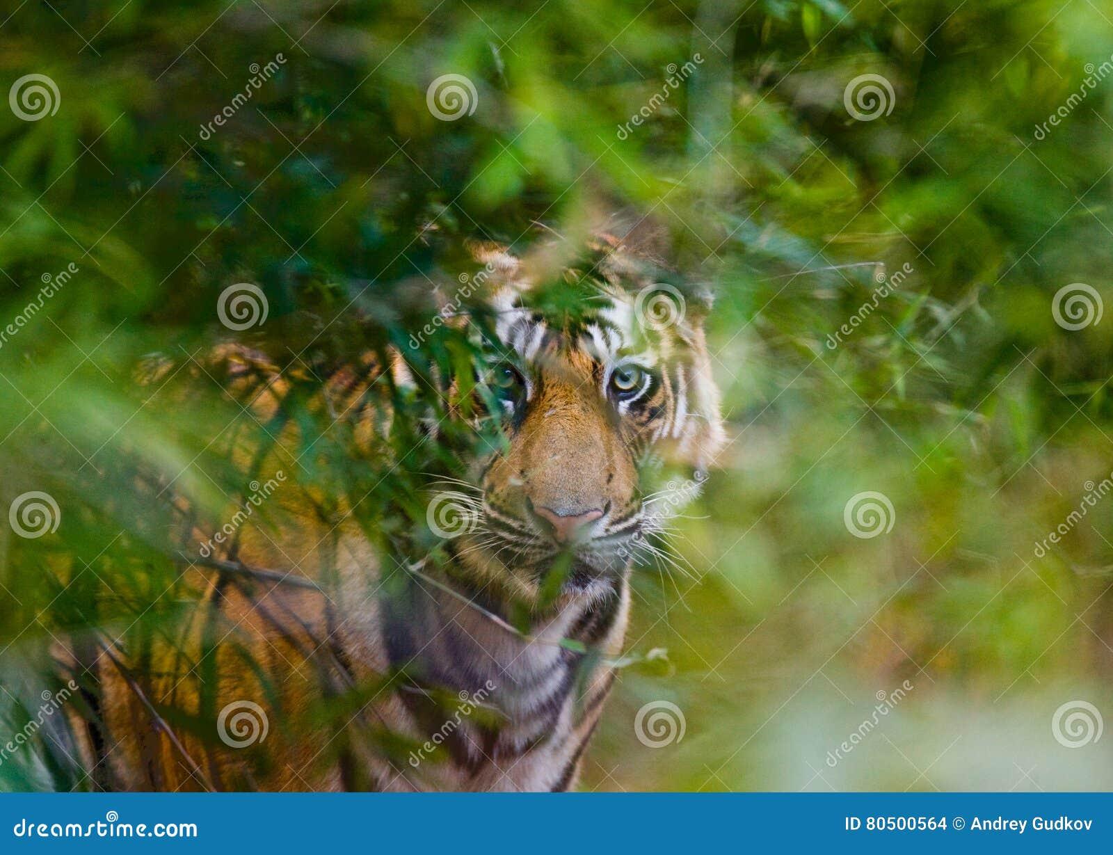 De wilde tijger van Bengalen kijkt uit van de struiken in de wildernis India BANDHAVGARH NATIONAAL PARK Madhya Pradesh