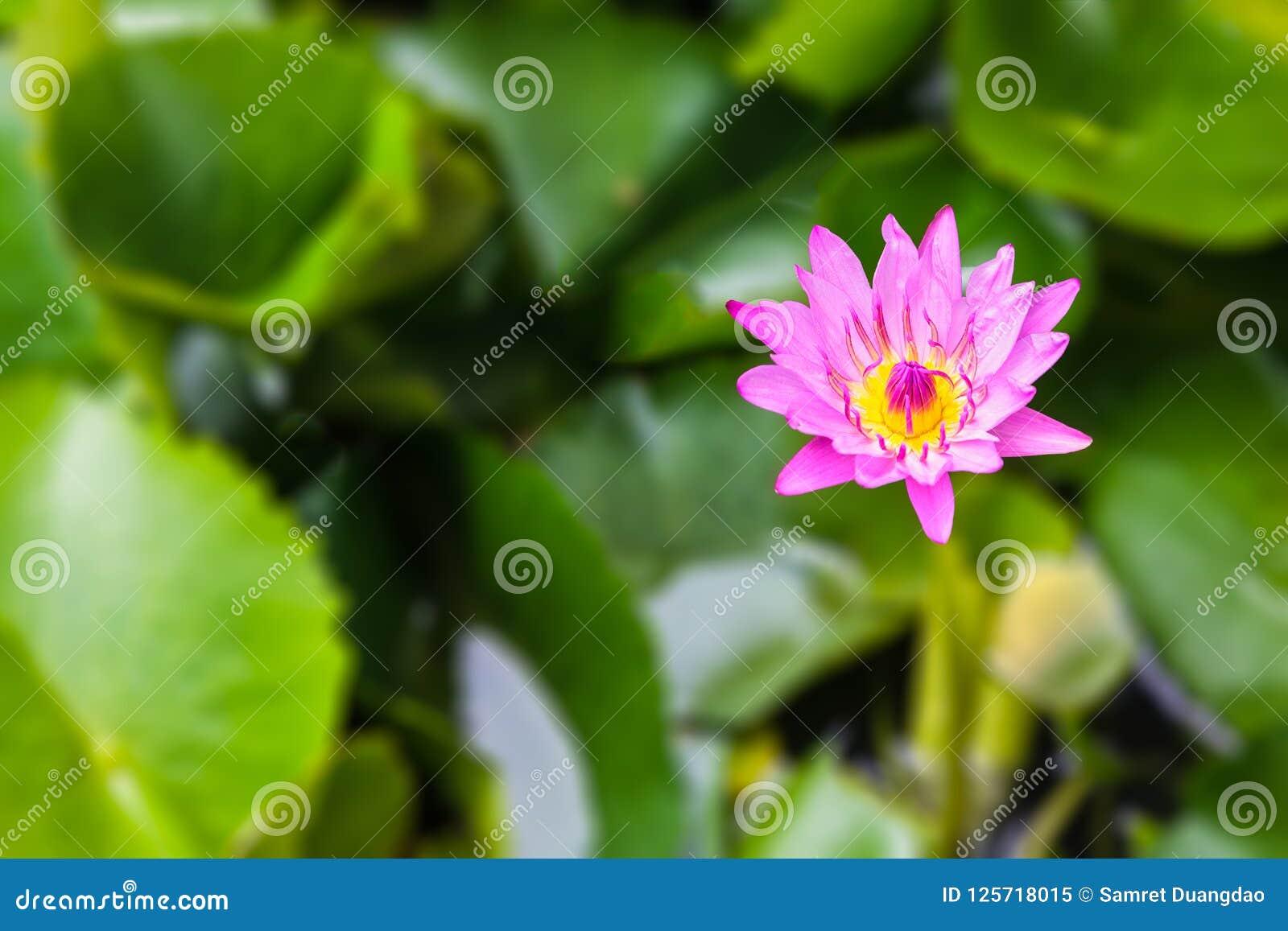 De Wildernis van Nymphaeastellata of de waterlelie of de lotusbloem zijn aquatische installatie a