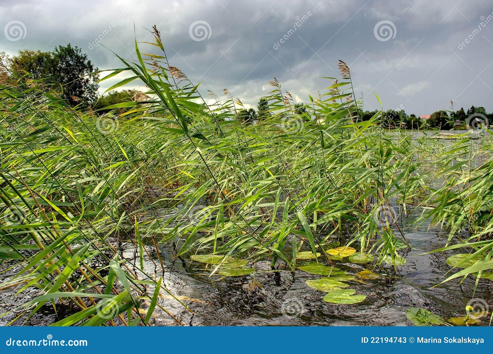 De wind van het riet stock afbeelding. afbeelding bestaande uit