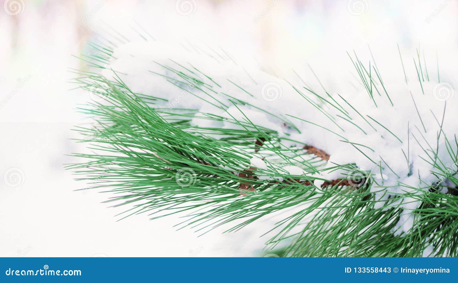 De winter background Sparrentak met sneeuw in de winterdag die wordt behandeld