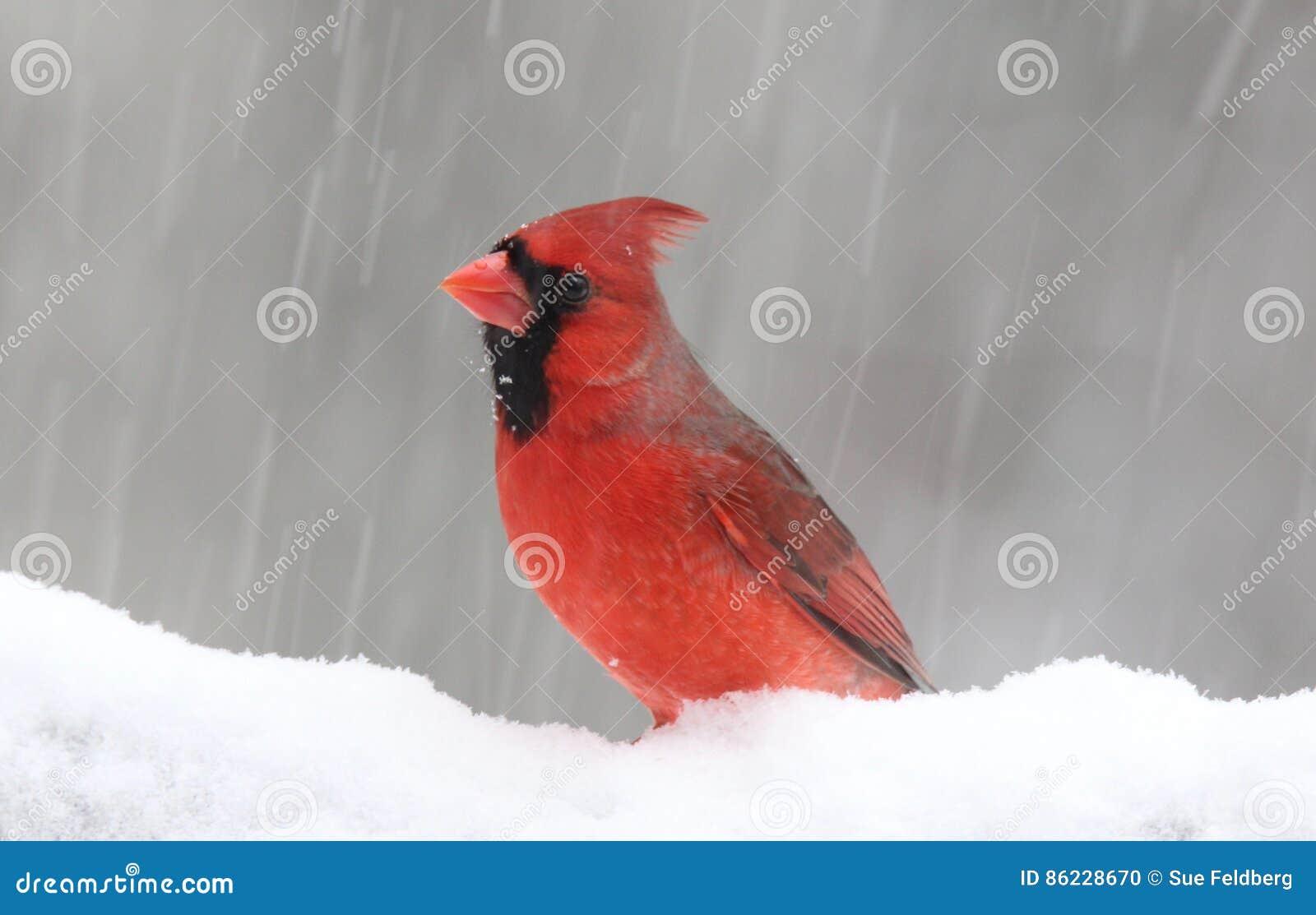 De winterkardinaal in een Blizzard