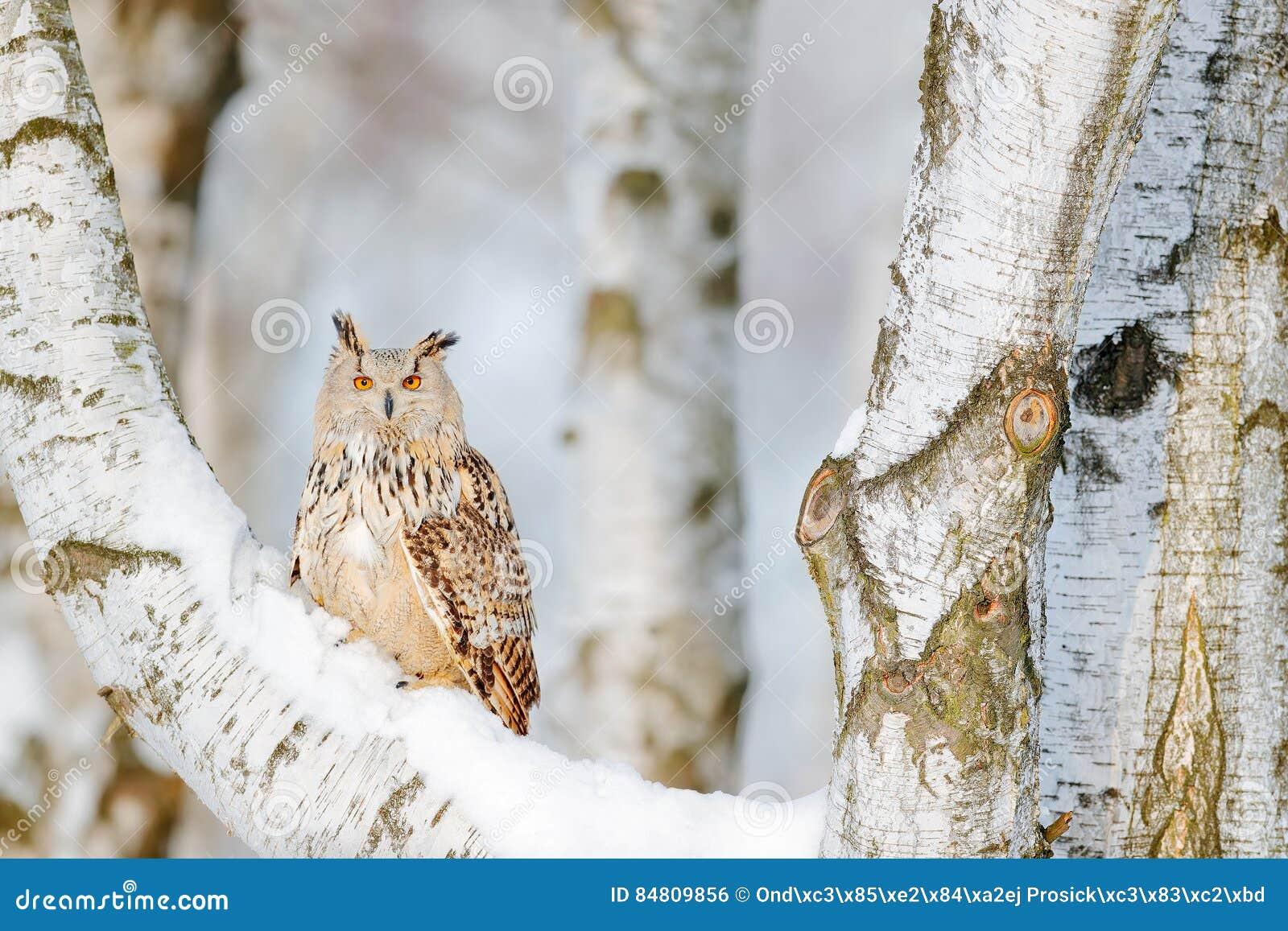 De winterscène met uil Groot Oostelijk Siberisch Eagle Owl, Bubo-bubosibiricus, die op heuveltje met sneeuw in de bosberkboom zit