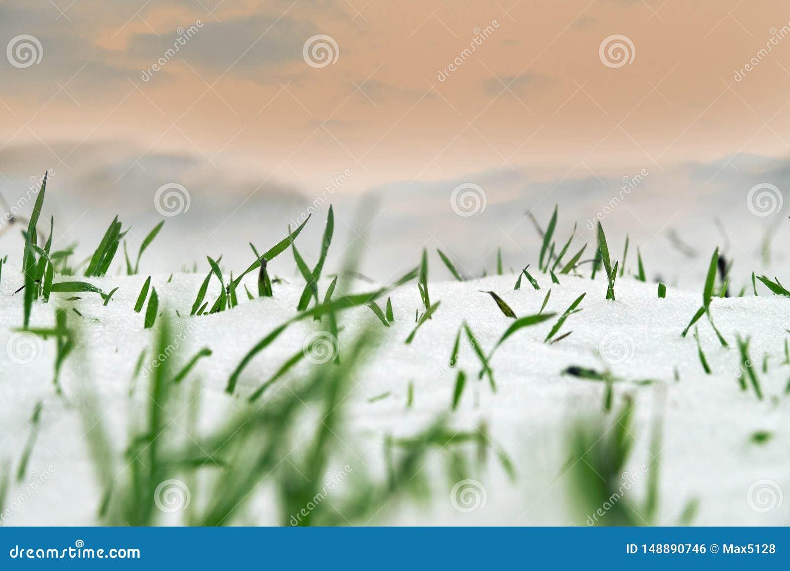 De wintertarwe onder de eerste sneeuw