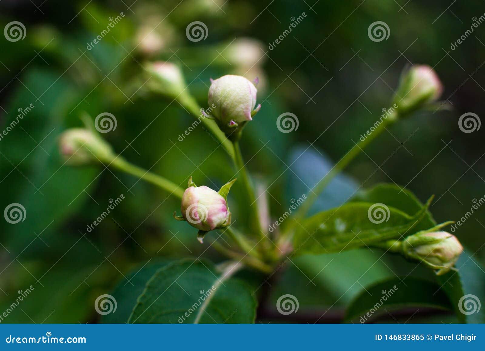 De wit-gele bloemen op een nog volledig naakte boom, zijn groene bladeren net begonnen te bloeien