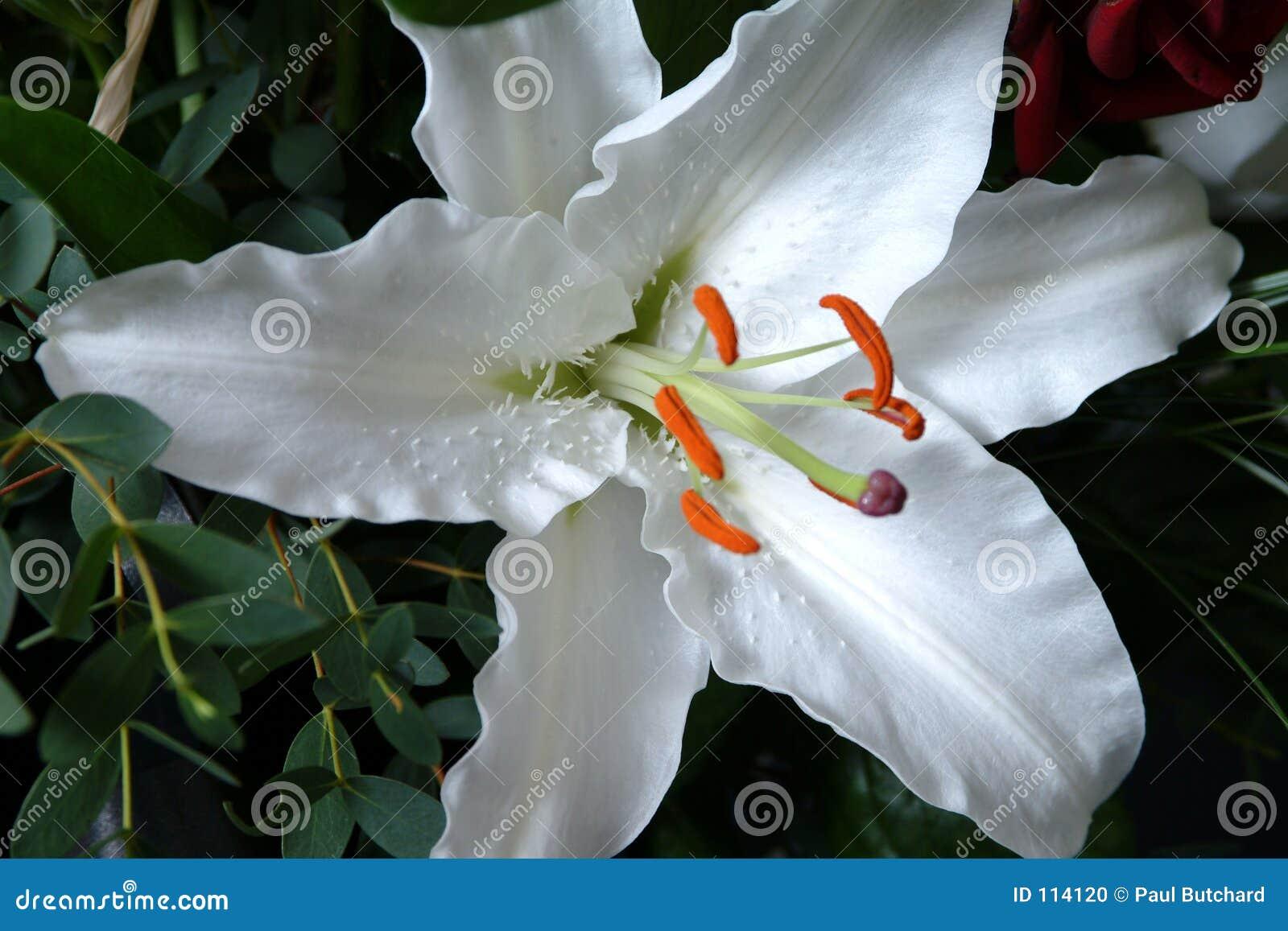 De witte Bloem van de Lelie