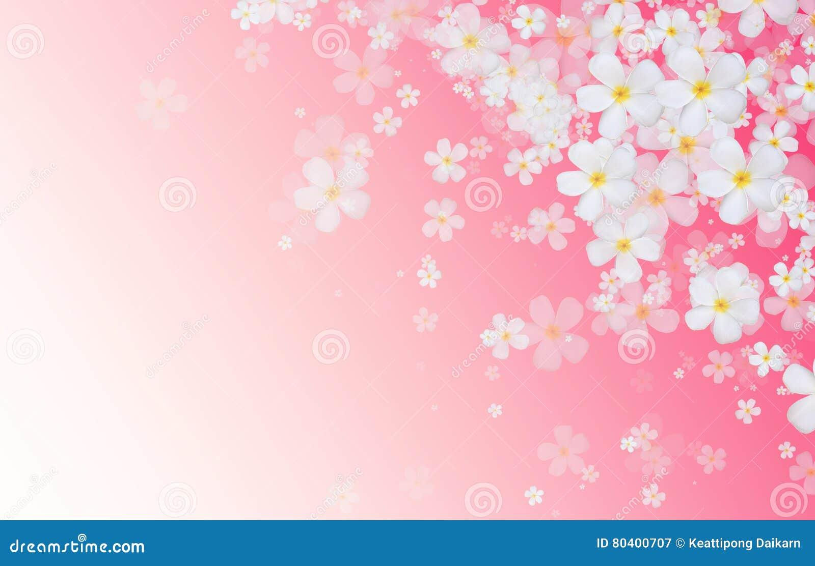 De witte bloemen van Plumeria of Frangipani-op de roze rug van de gradiëntkleur