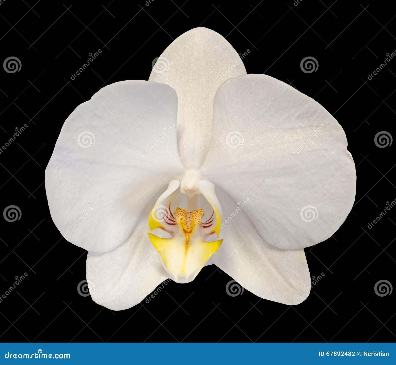 De witte die takorchidee bloeit met knoppen, Orchidaceae, Phalaenopsis als de Mottenorchidee wordt bekend