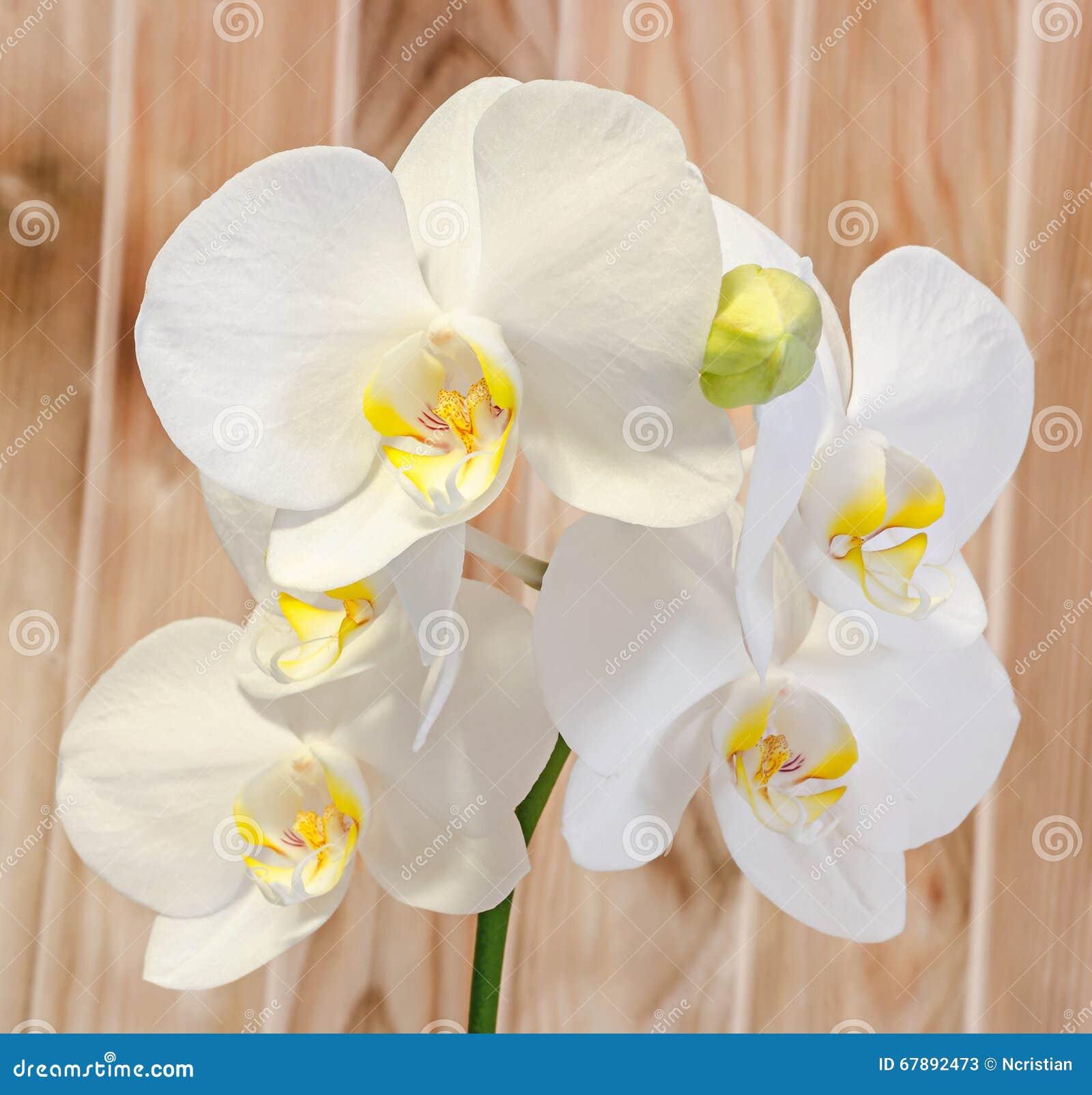 De witte die takorchidee bloeit met knoppen, Orchidaceae, Phalaenopsis als de Mottenorchidee wordt bekend Houten achtergrond