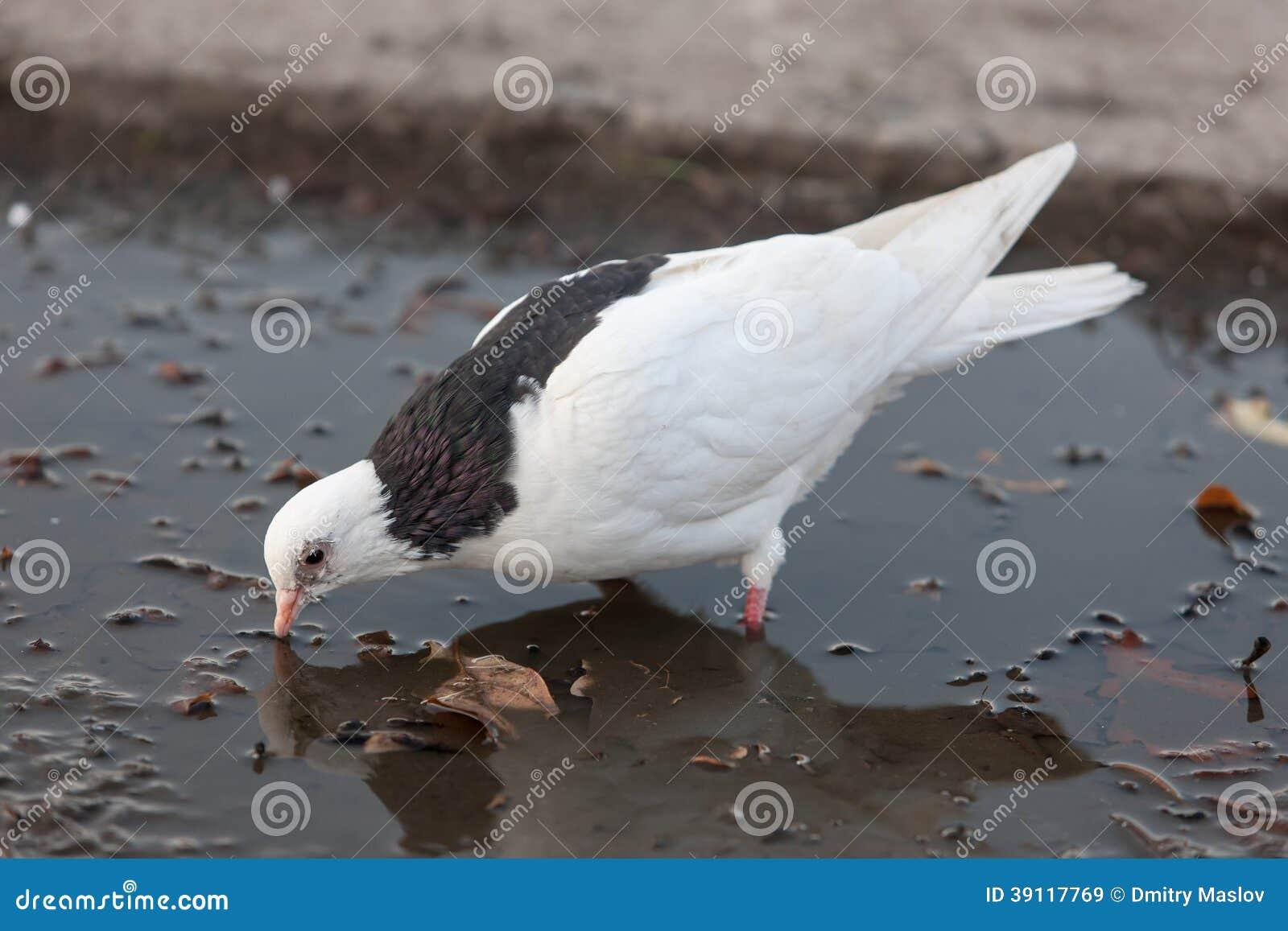 De witte duif drinkt water