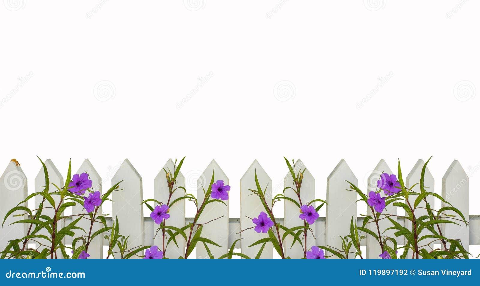 De witte grens van de piketomheining met purpere die bloemengrens op wit met ruimte voor exemplaar wordt geïsoleerd hierboven - h