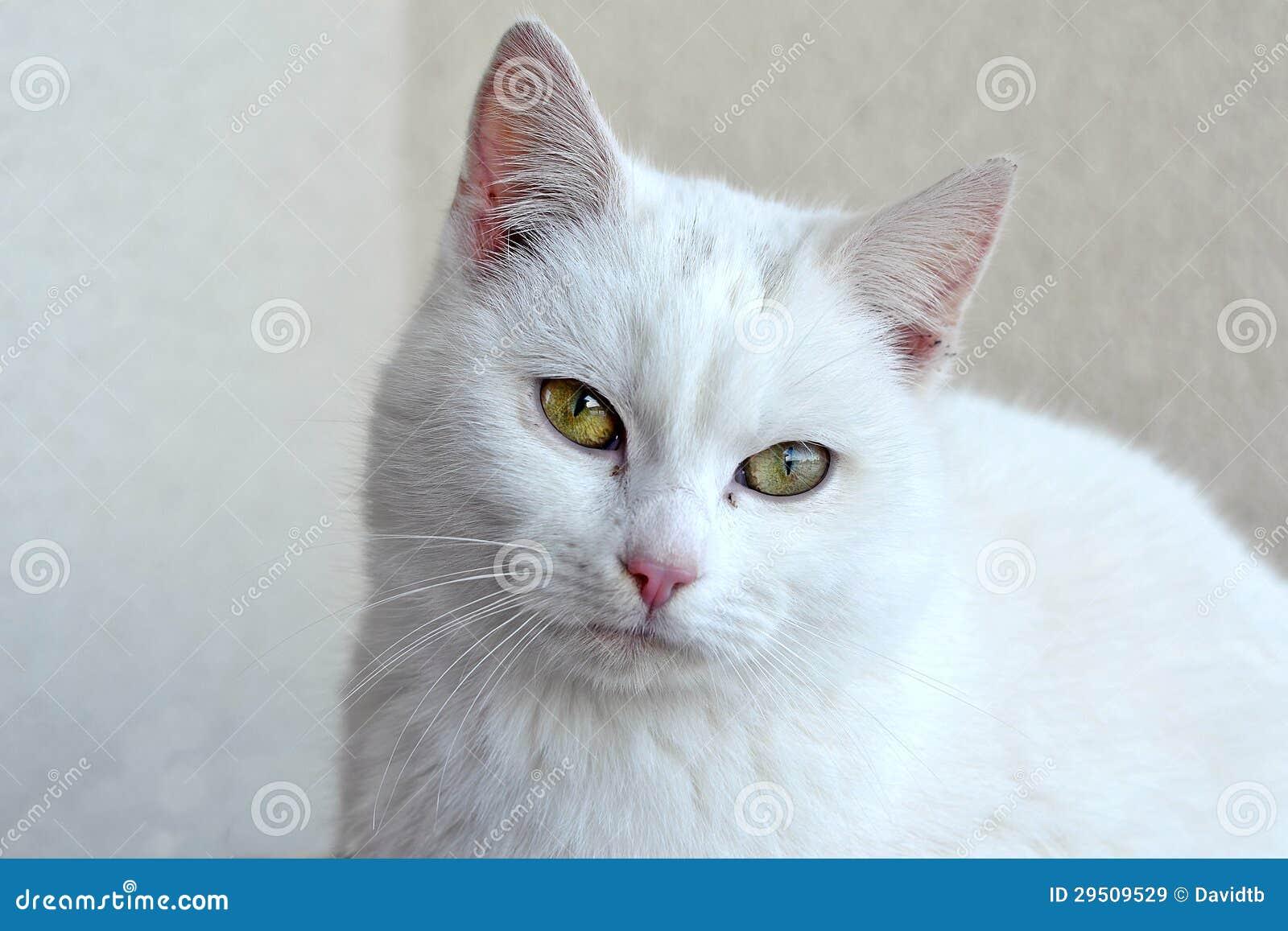 De witte kat van het portret