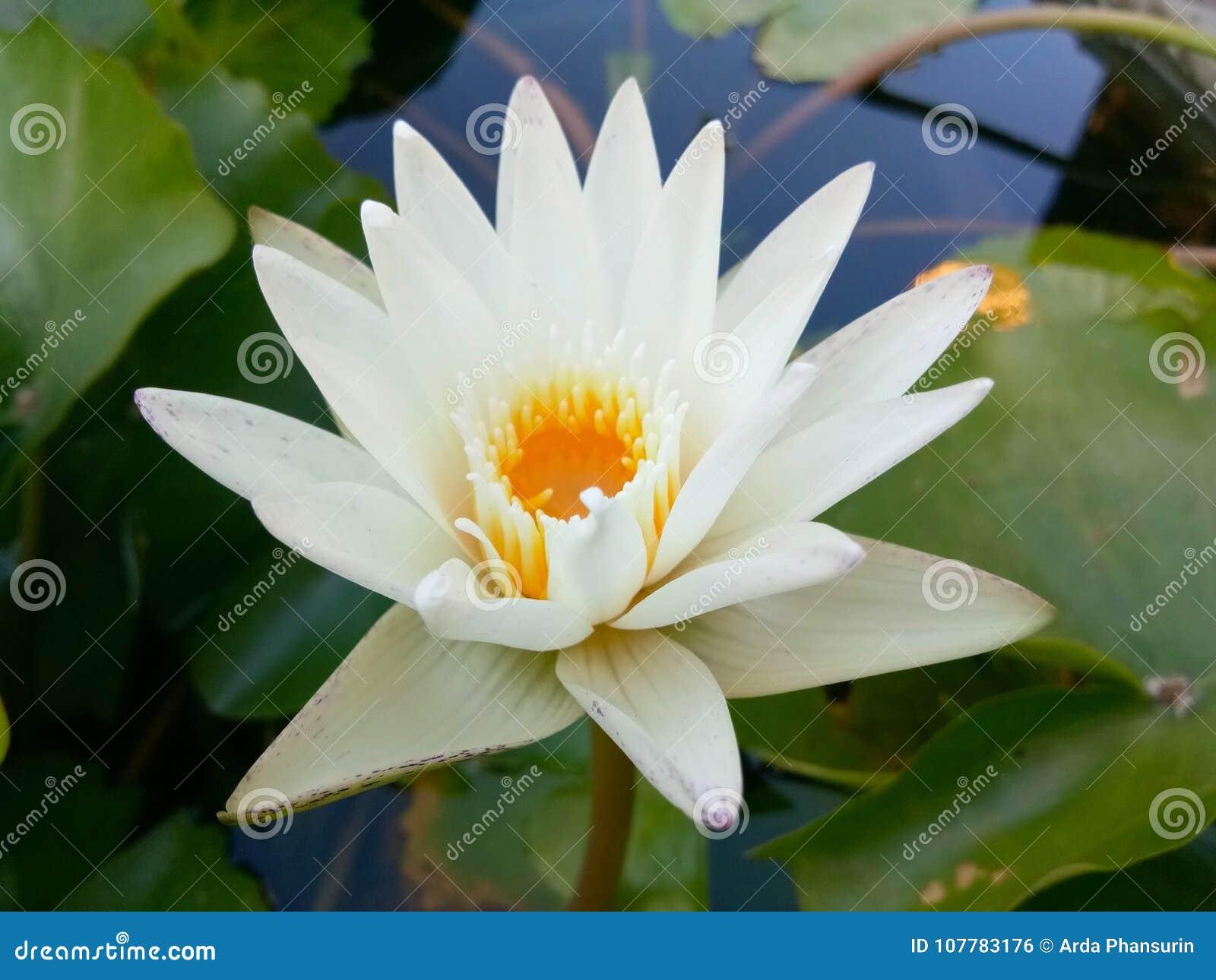De witte lotusbloem van de stroomversnellinglelie!