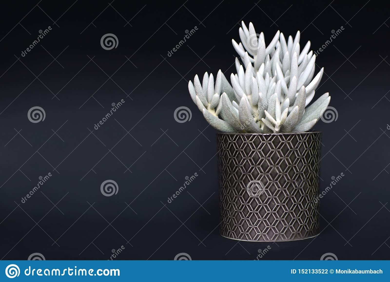 De witte succulente ingemaakte installatie van Senecio Haworthii op donkere achtergrond