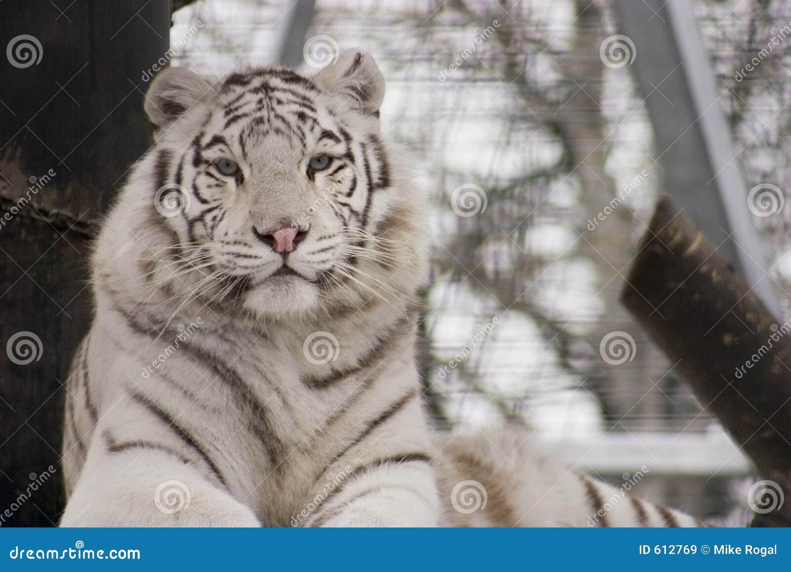 De witte Tijger van Bengalen
