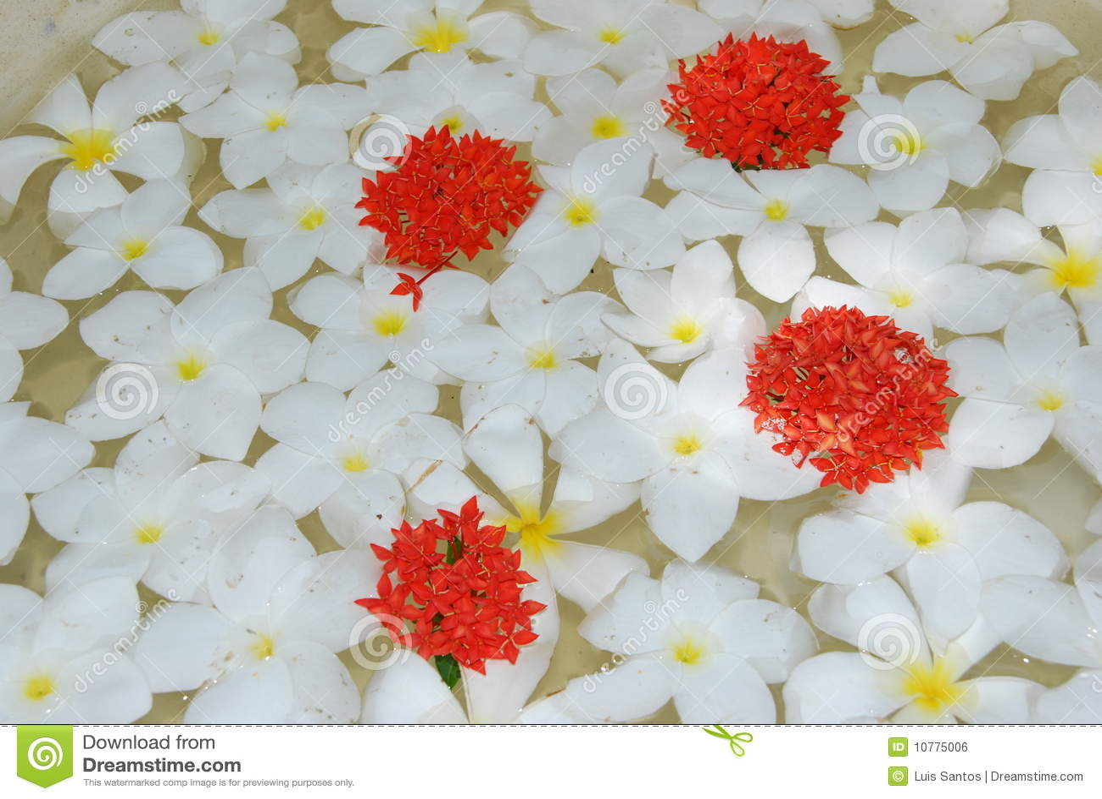 De witte tropische achtergrond van frangipanisbloemen