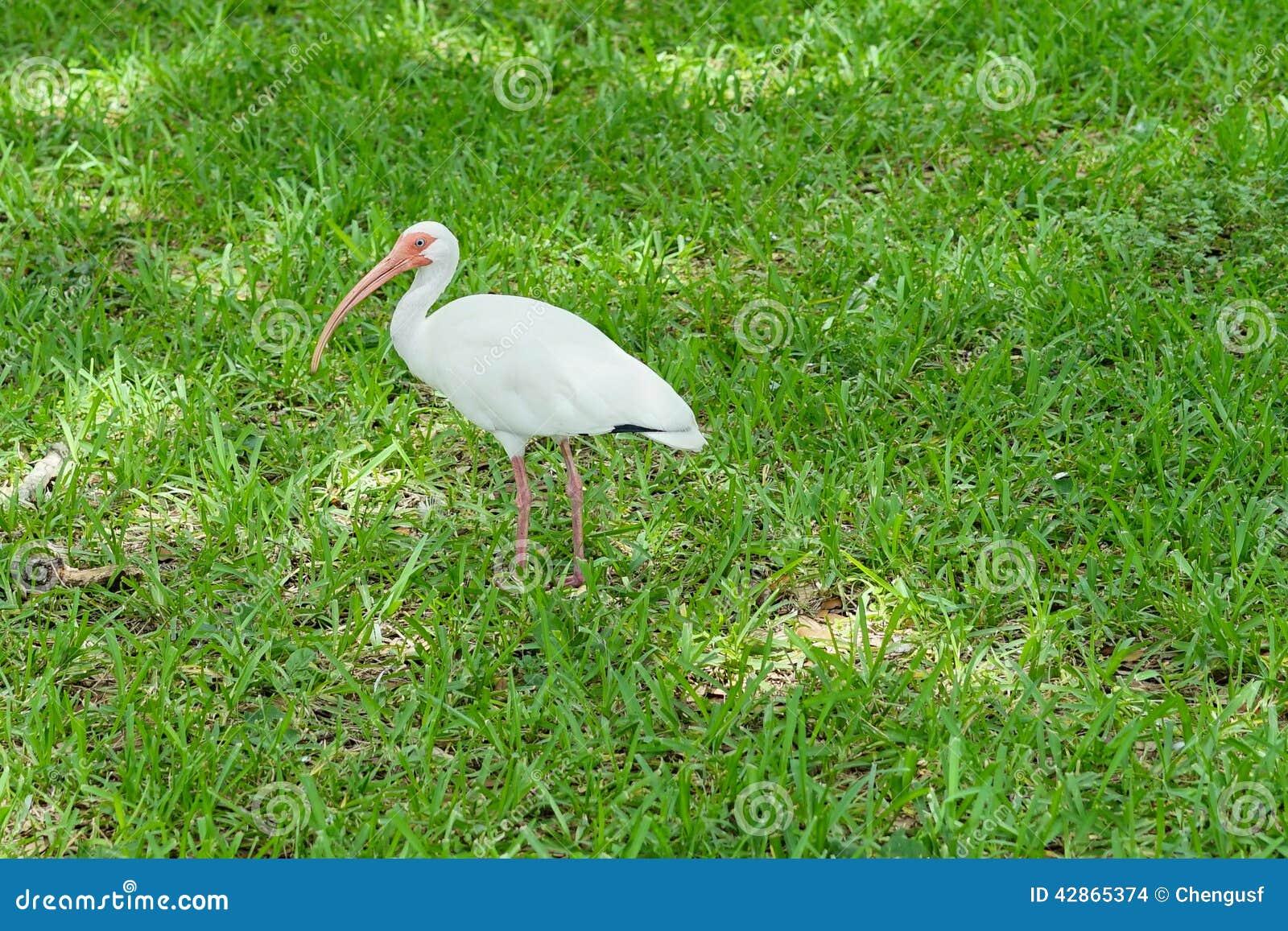 de witte vogel van de ibis stock foto. afbeelding bestaande uit