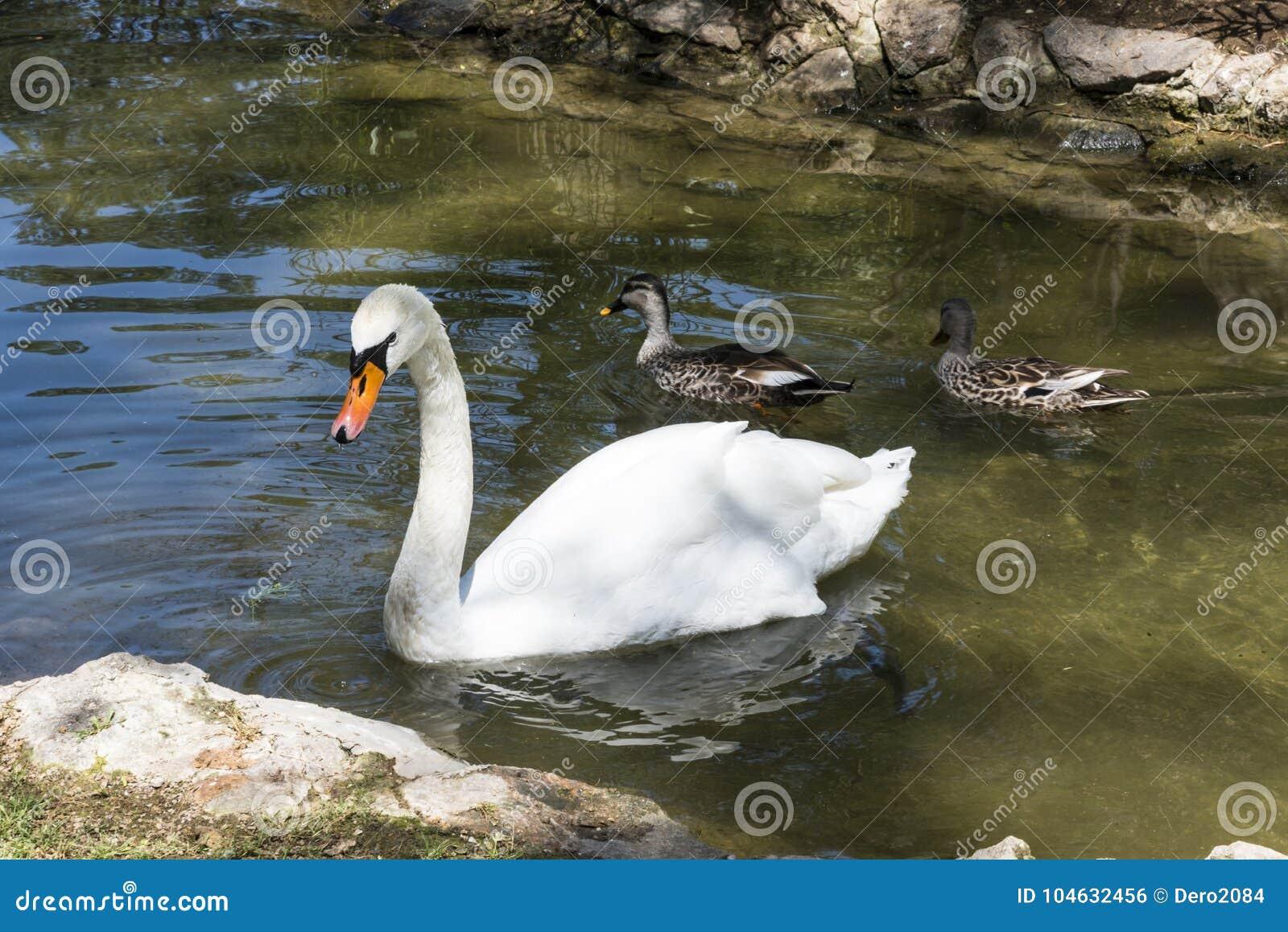 Download De Witte Zwaan Drijft In De Vijver, Zoölogische Tuin Van De Nationale Reserve Askania-Nova, De Oekraïne Stock Foto - Afbeelding bestaande uit reizen, milieu: 104632456