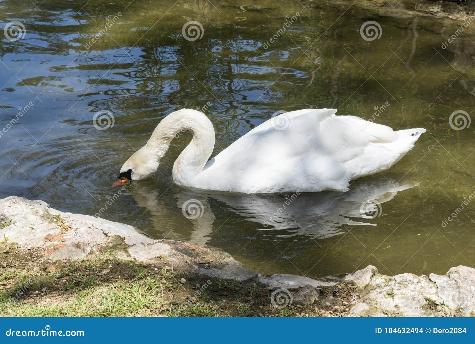 Download De Witte Zwaan Drijft In De Vijver, Zoölogische Tuin Van De Nationale Reserve Askania-Nova, De Oekraïne Stock Foto - Afbeelding bestaande uit fauna, vijver: 104632494