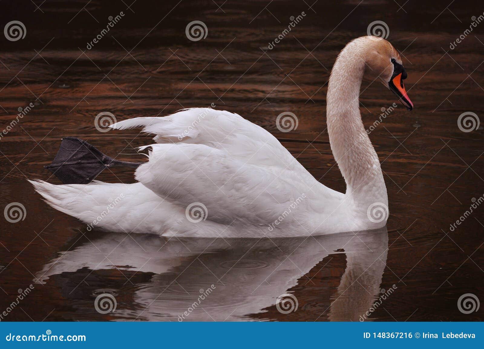 De witte Zwaan zwemt in het avond meer in de regen
