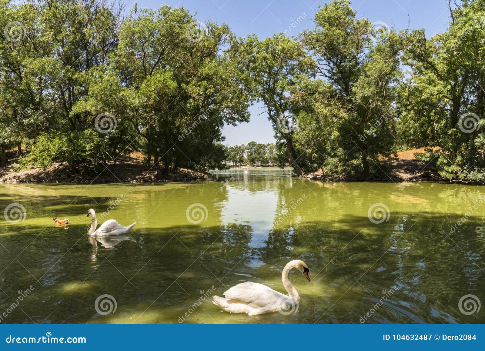 Download De Witte Zwanen Drijft In De Vijver, Zoölogische Tuin Van De Nationale Reserve Askania-Nova, De Oekraïne Stock Afbeelding - Afbeelding bestaande uit swans, flora: 104632487