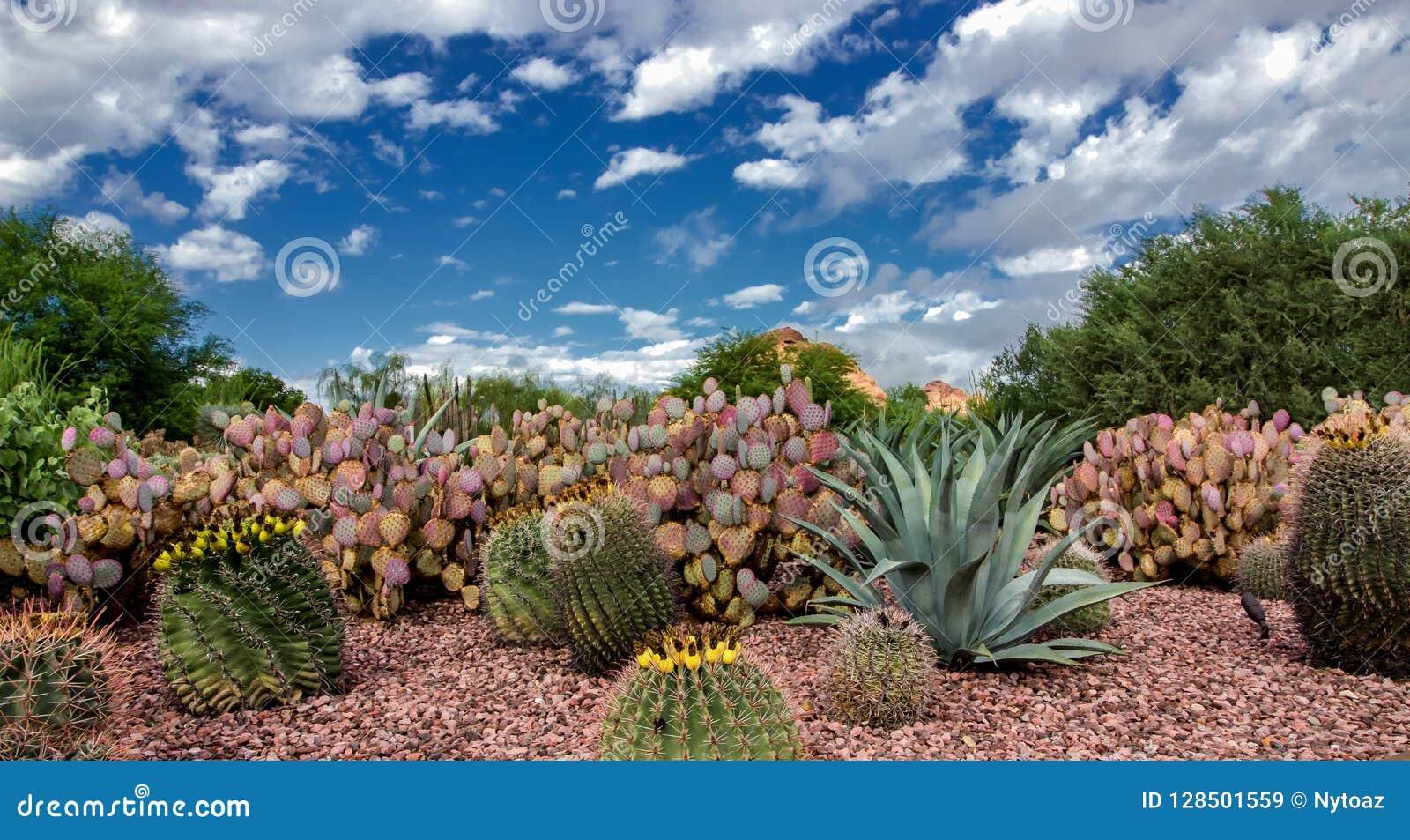 De Woestijn Botanische Tuin Phoenix Az van de Chollacactus