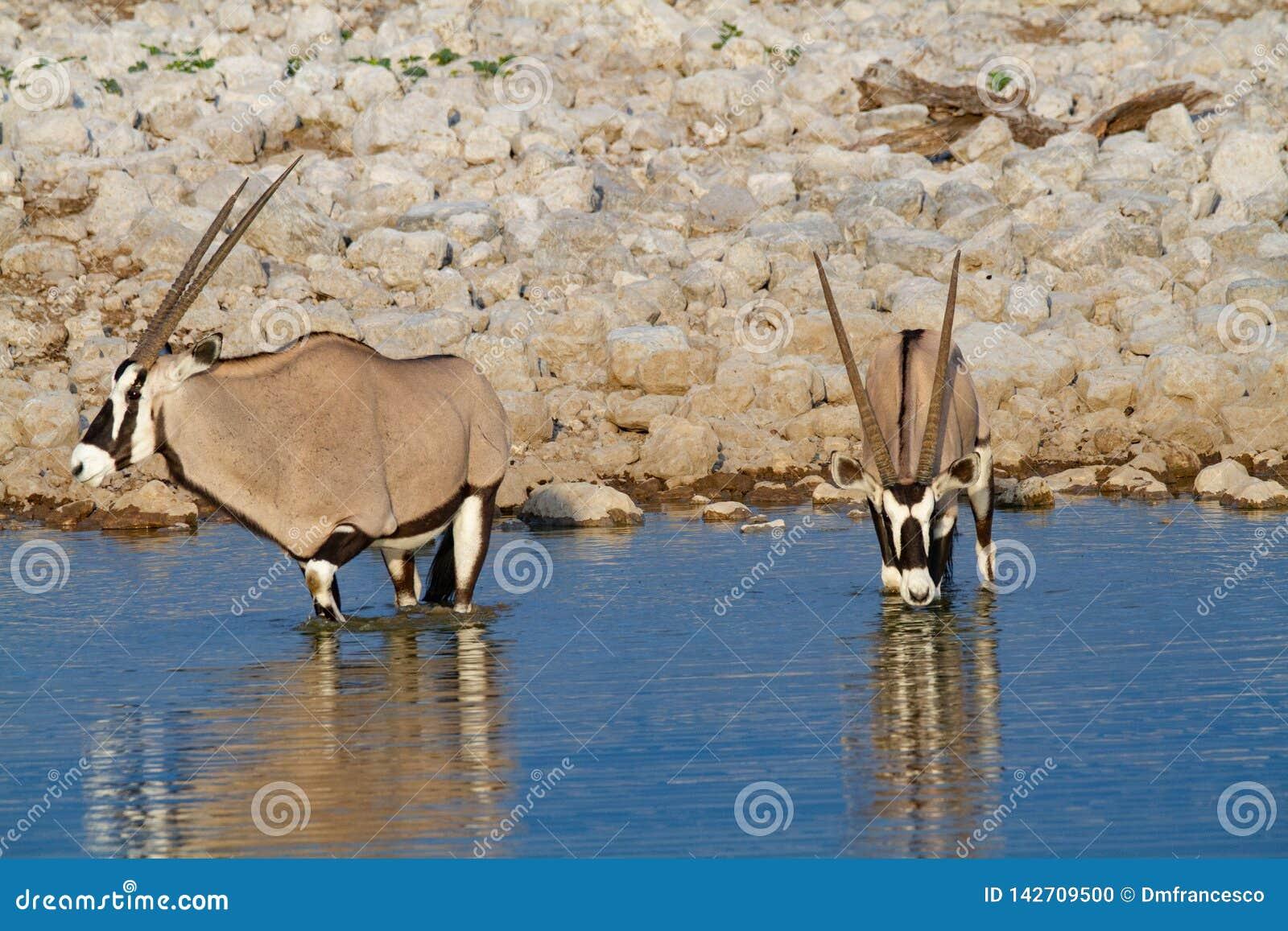 De woestijnen en de aard van Gemsbok oryx Namibië in nationale parken