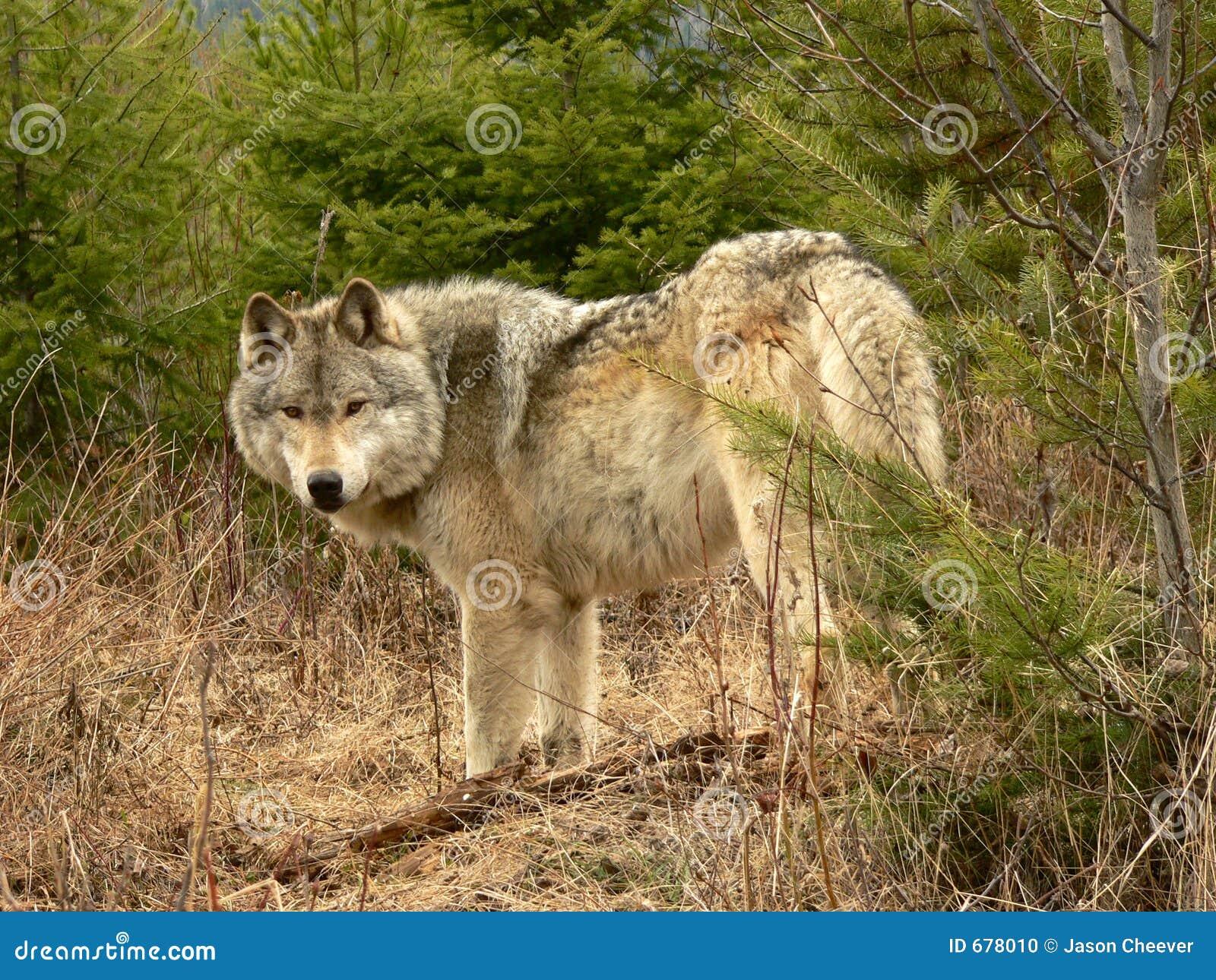 De Wolf van het hout