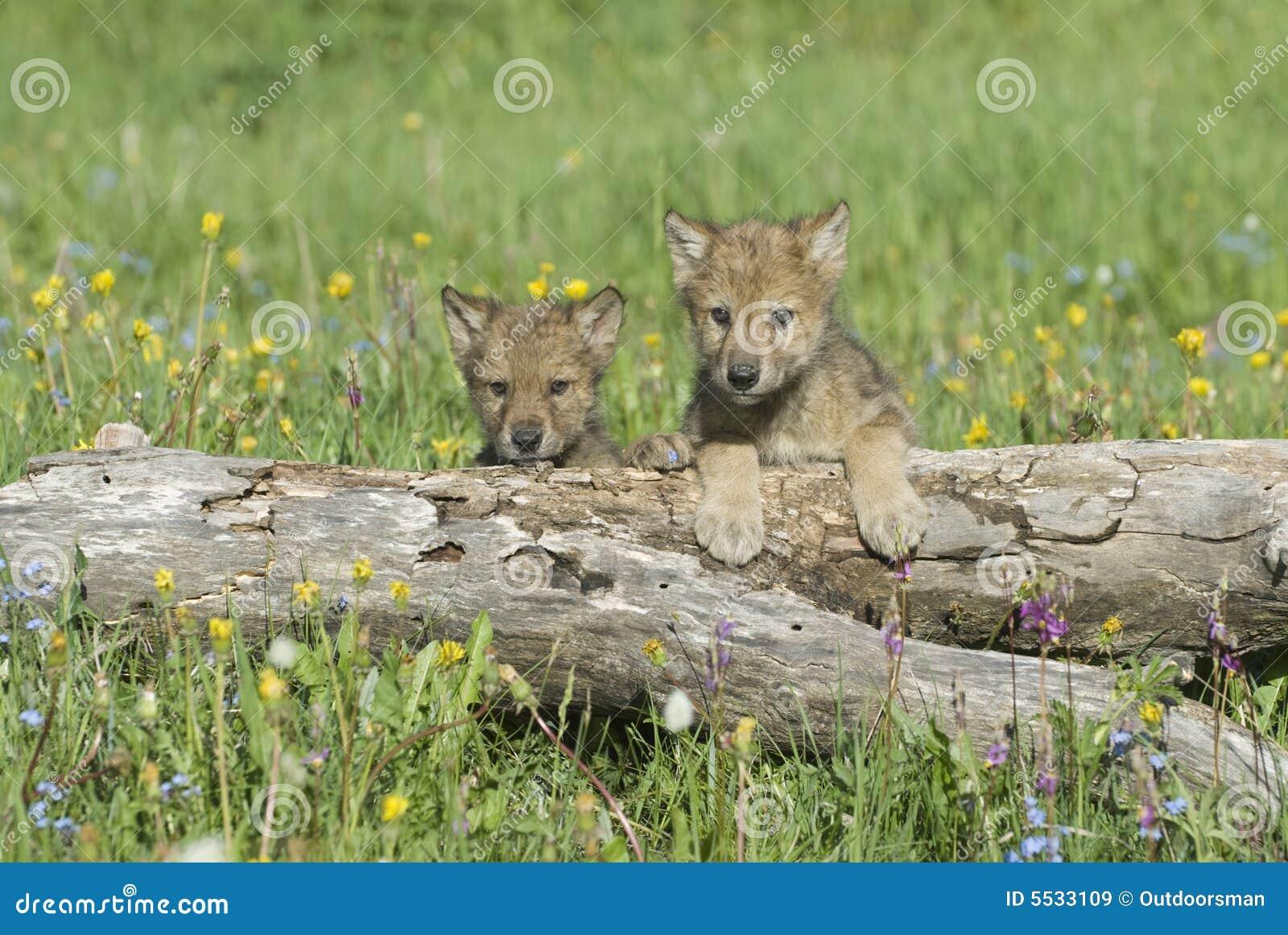 de wolven van de baby stock afbeelding afbeelding bestaande uit welpen 5533109. Black Bedroom Furniture Sets. Home Design Ideas