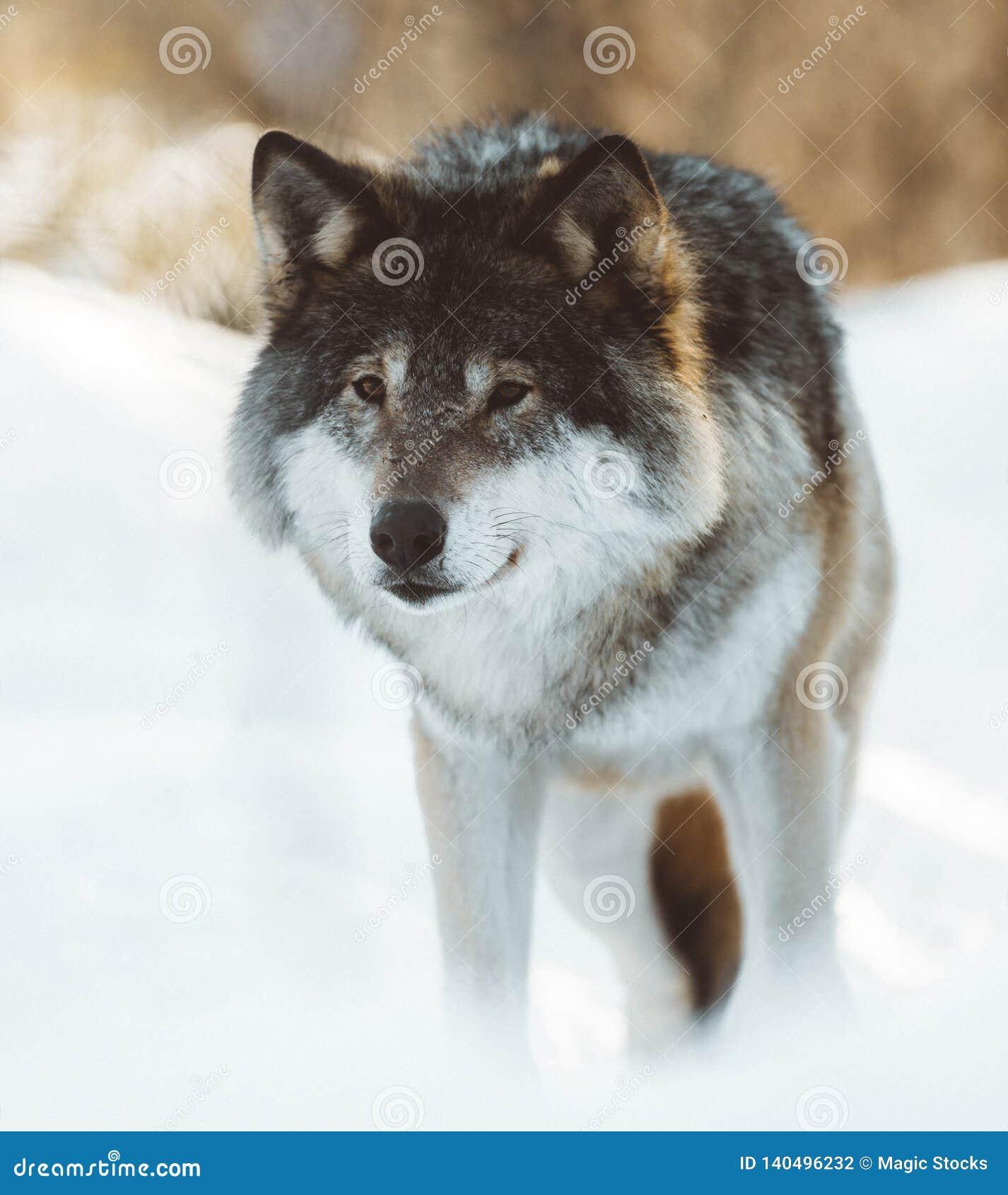 De wolven van het Noorden