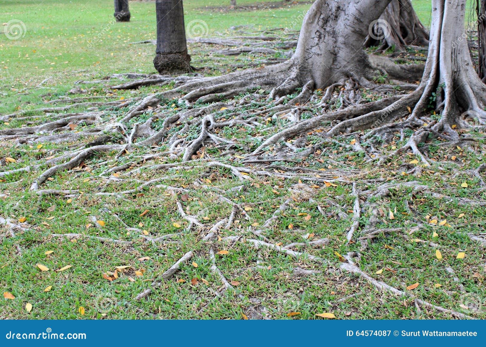 De wortel van de boom