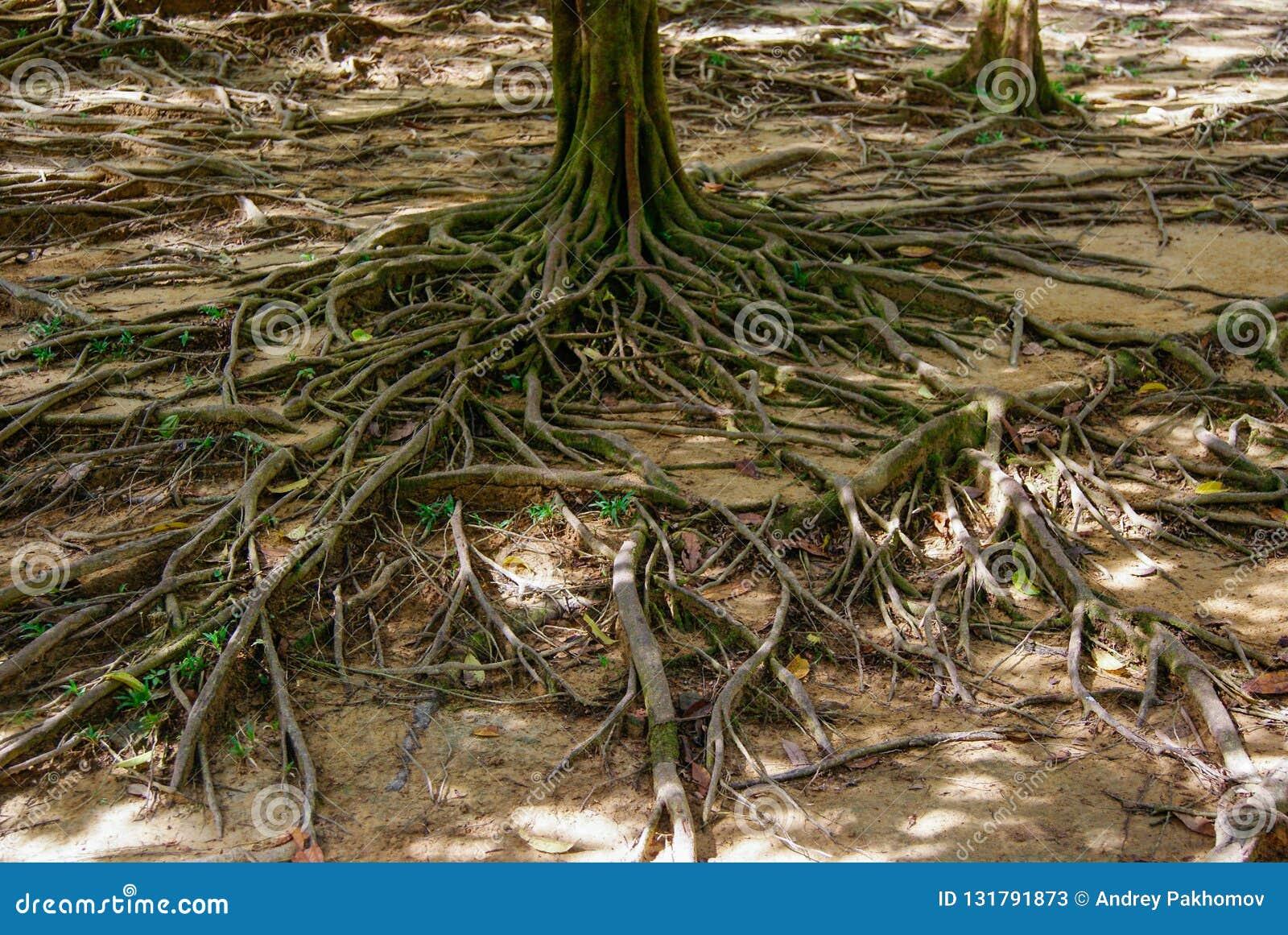 De wortel van een grote boom die ter plaatse fladderen ongebruikelijke installatiewortels nave