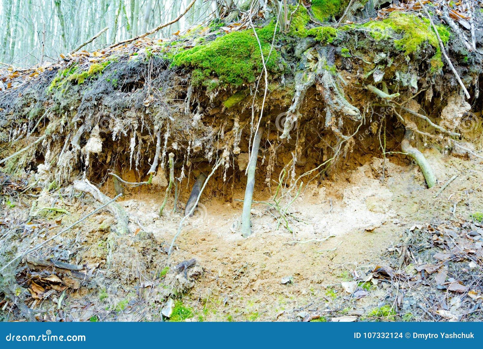 De wortels van de boom in ter plaatse uit uitgerekt bos