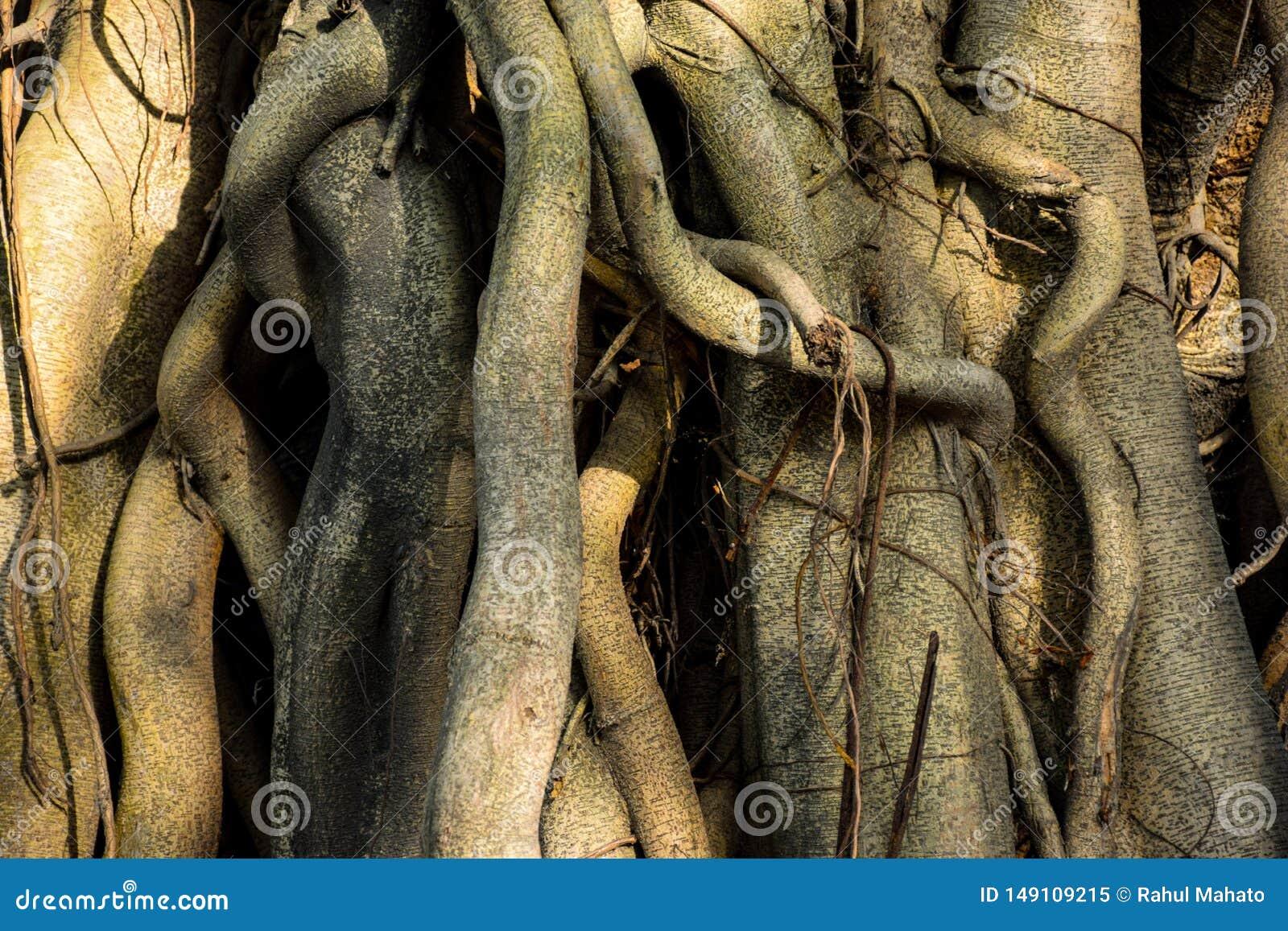 De wortelsclose-up van de Banyanboom bij ochtendzonlicht in West-Bengalen India
