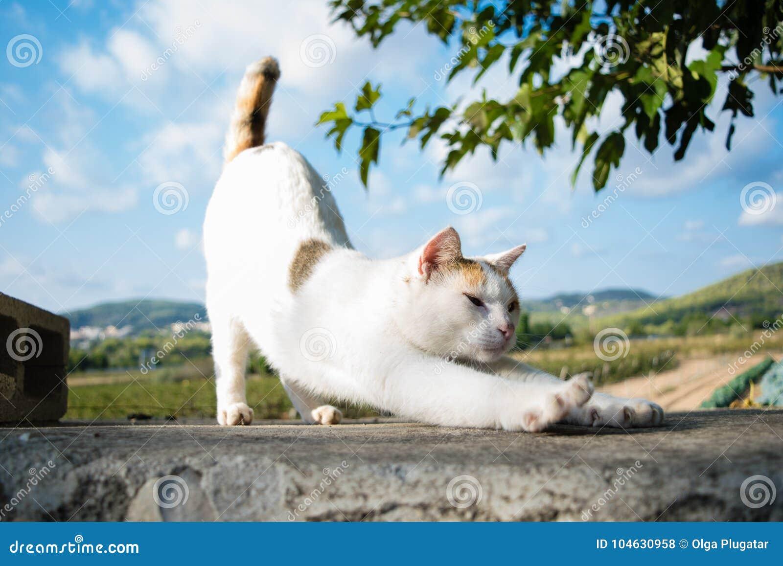 Download De Yogakat Rekt Zich Uit Die, Goedemorgen Terug Opheffen Stock Foto - Afbeelding bestaande uit grappig, katten: 104630958