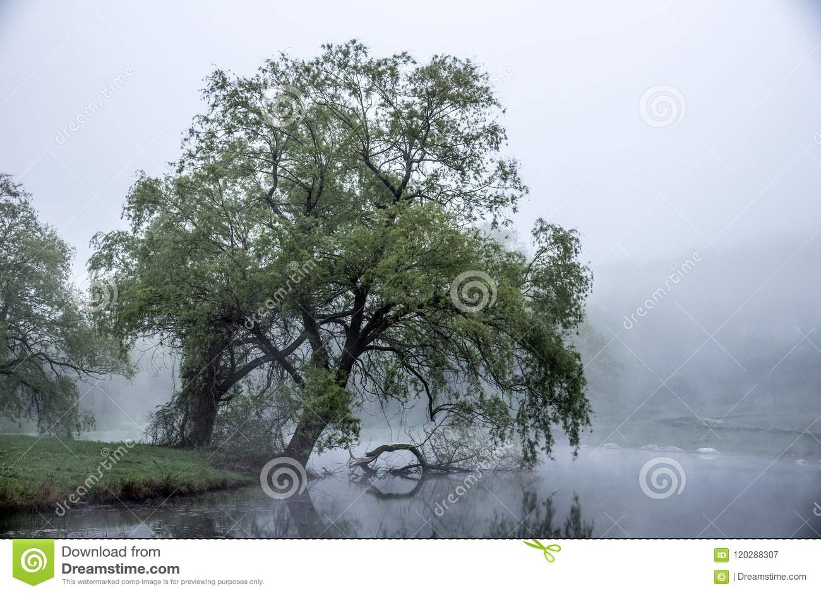 De zachte mist rolt een over vijver van Massachusetts en borstelt de bladeren van een grote boom die naar het water leunen