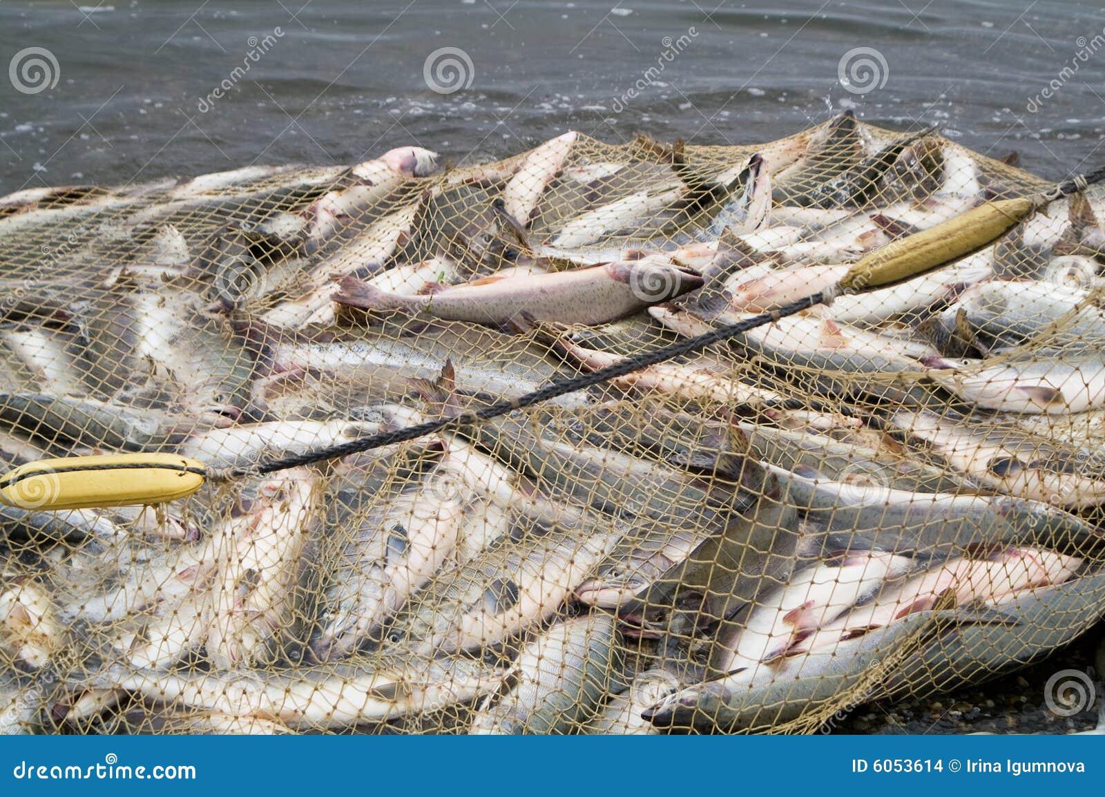De zalm van de vangst