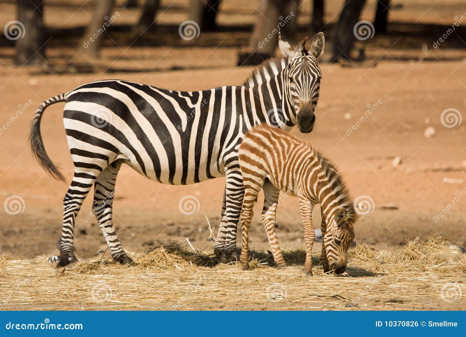 De zebra van de toelage met veulen