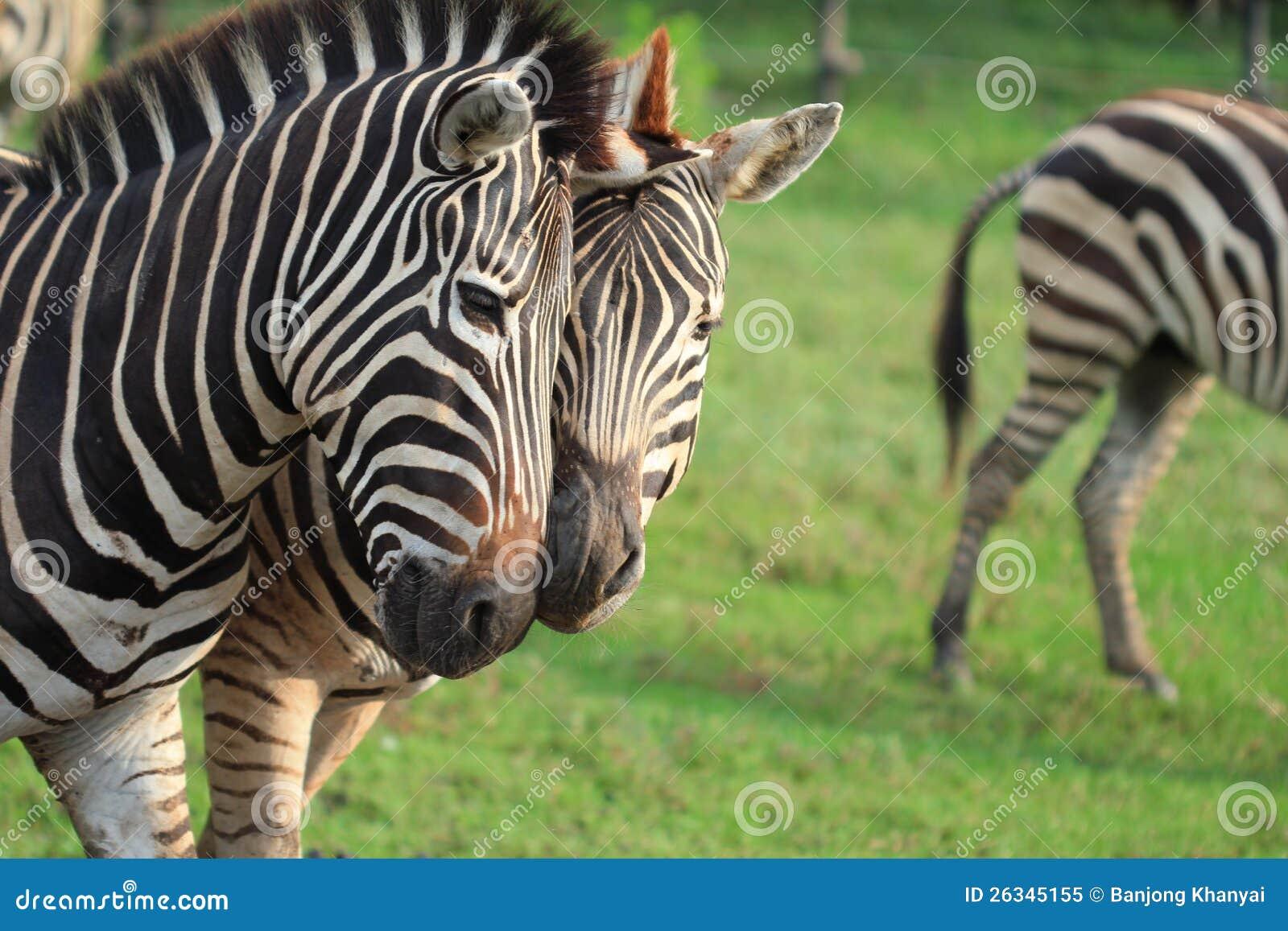 De Zebra van het paar