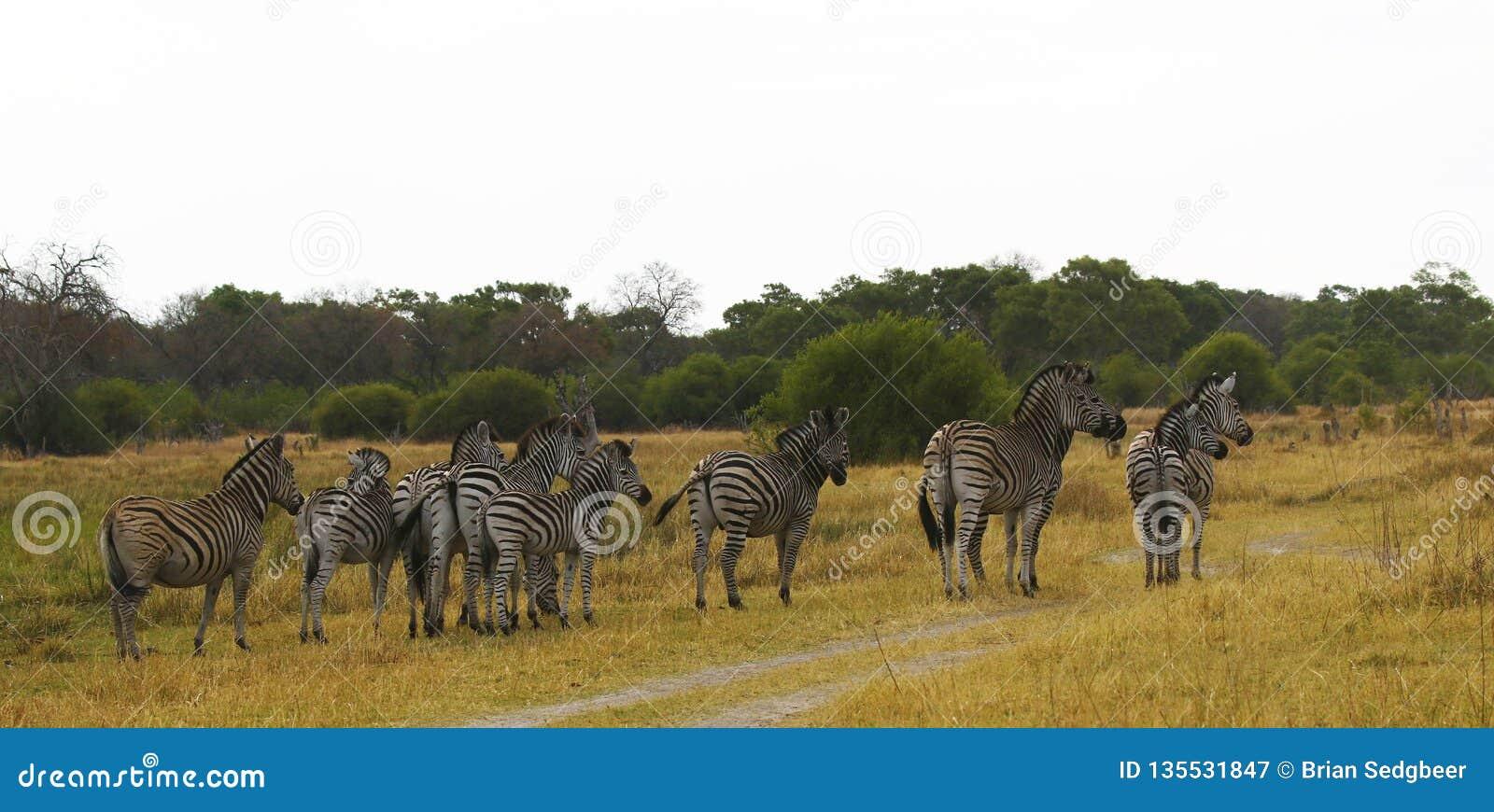 De Zebra van mooie Burchell op de Afrikaanse Vlaktes