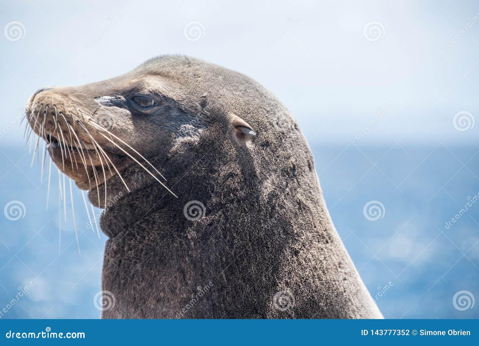 De Zeeleeuw van de Galapagos met litteken op gezicht