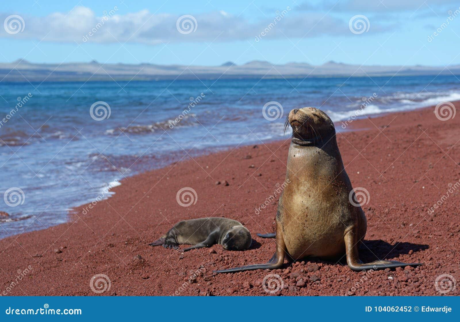 De zeeleeuw van de Galapagos met welp 2