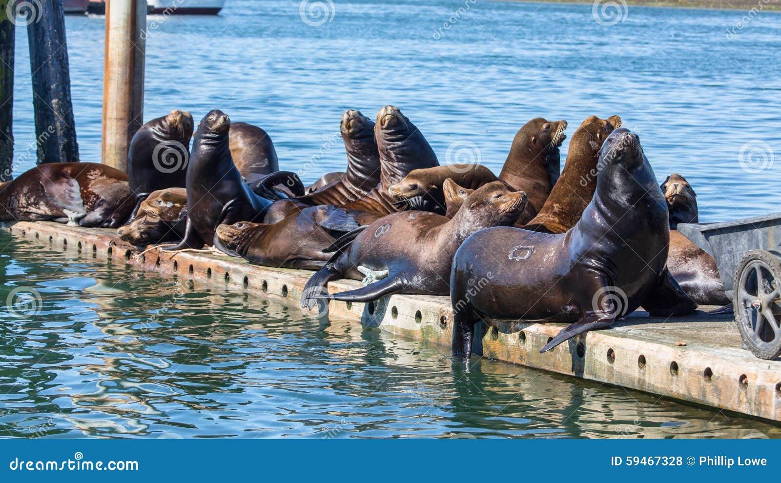 De Zeeleeuwen die van Californië op drijvend dok rusten